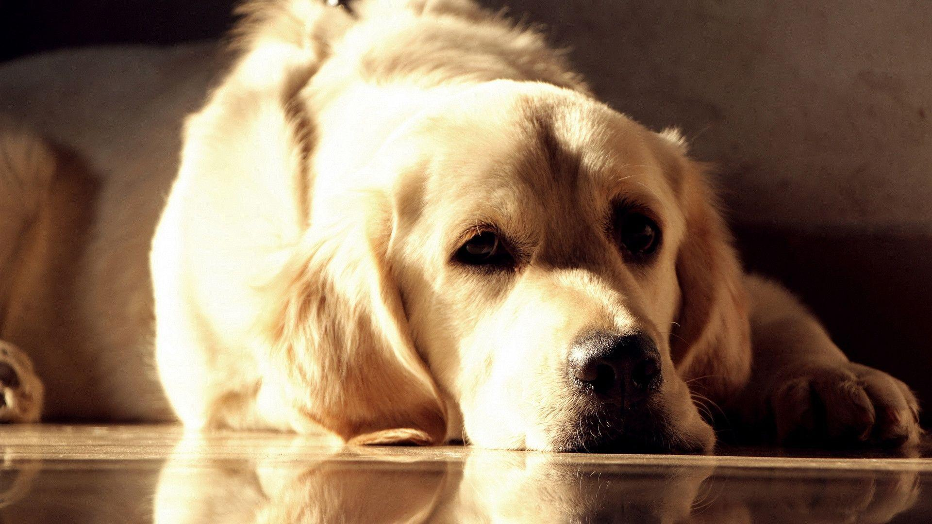 1920x1080 Golden labrador Wallpaper