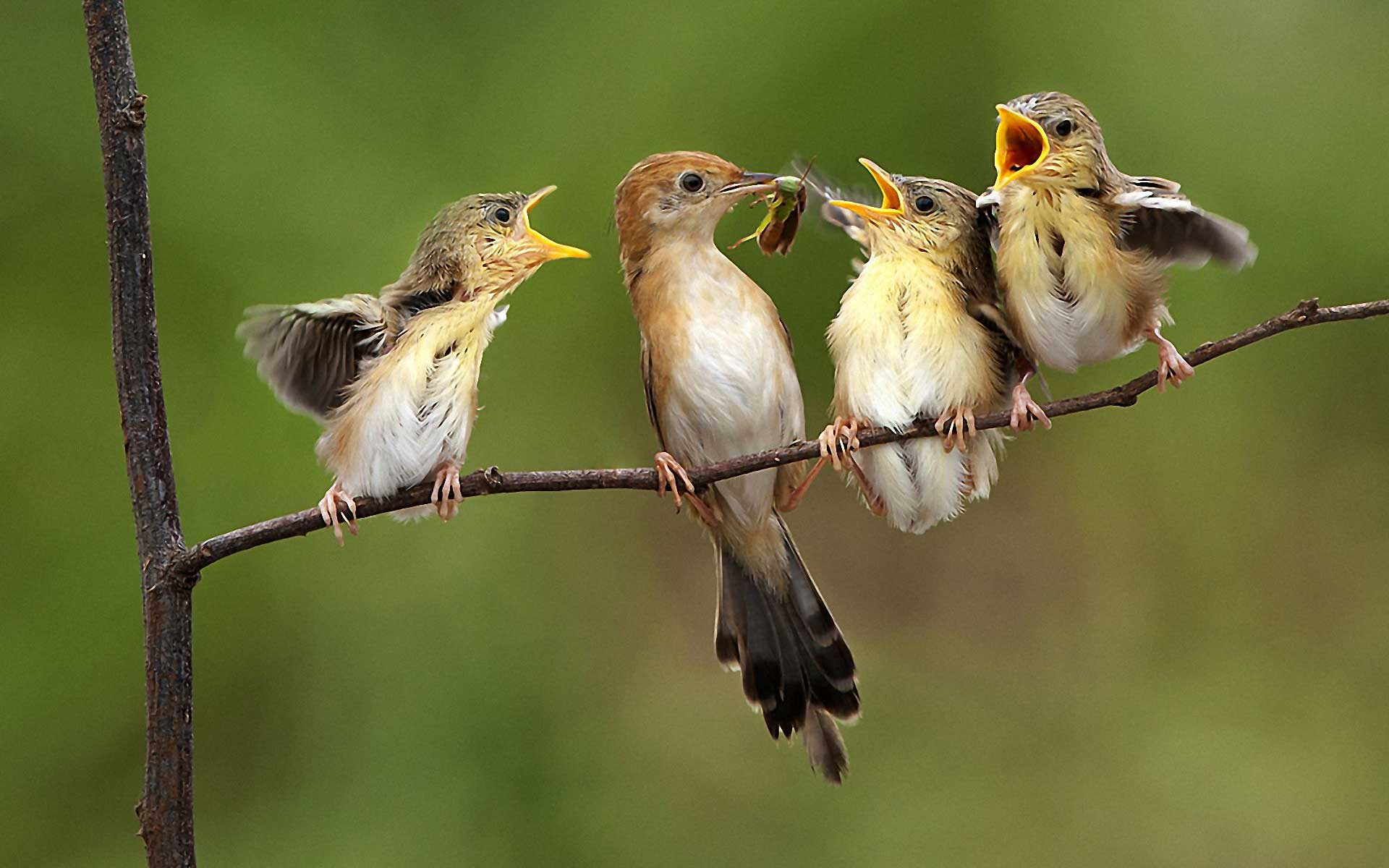 Baby Birds HQ Photo Wallpaper Cute #5381 Wallpaper | iWallDesk.