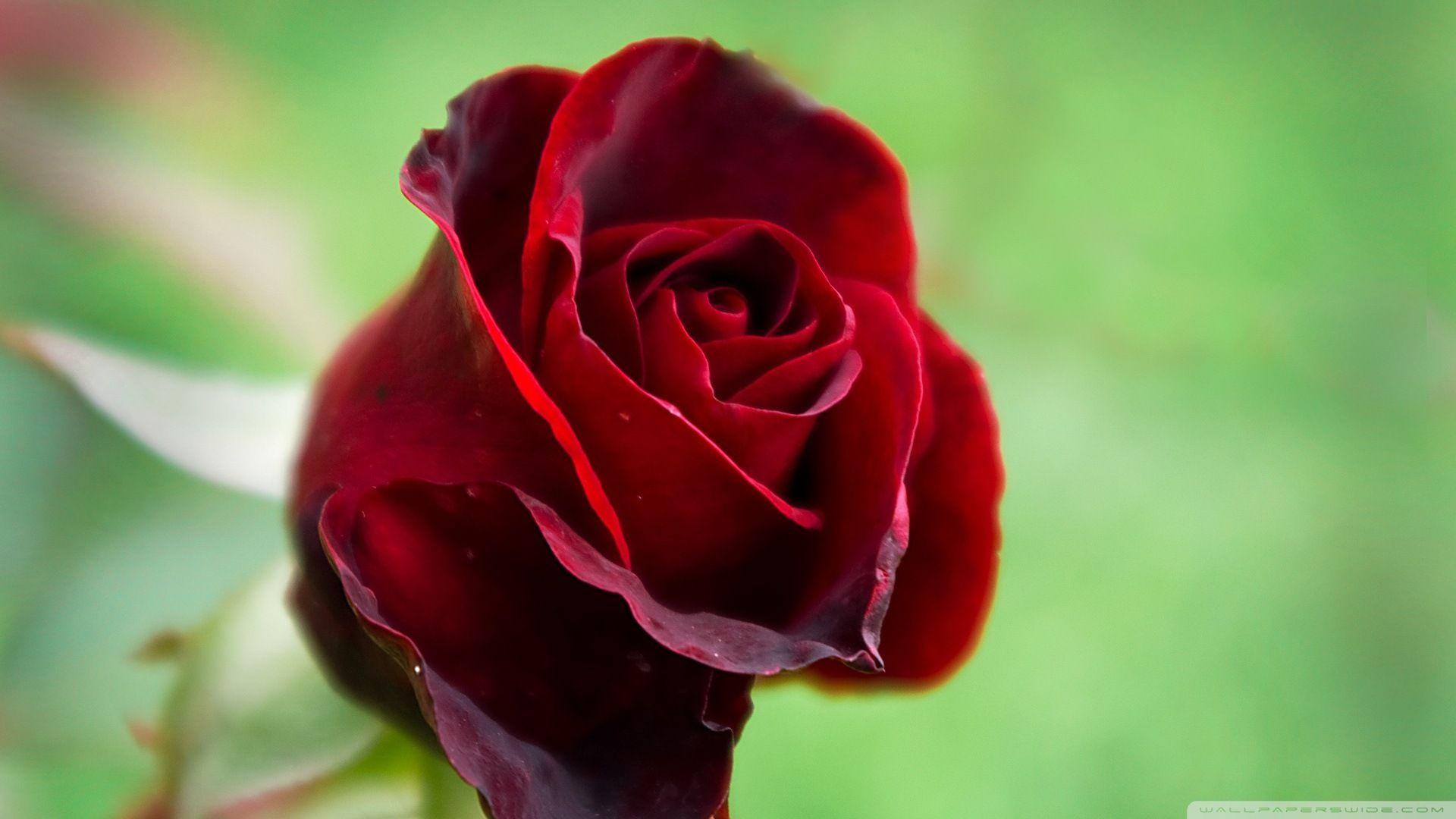 Flower Wallpapers Red Rose Wallpaper Cave