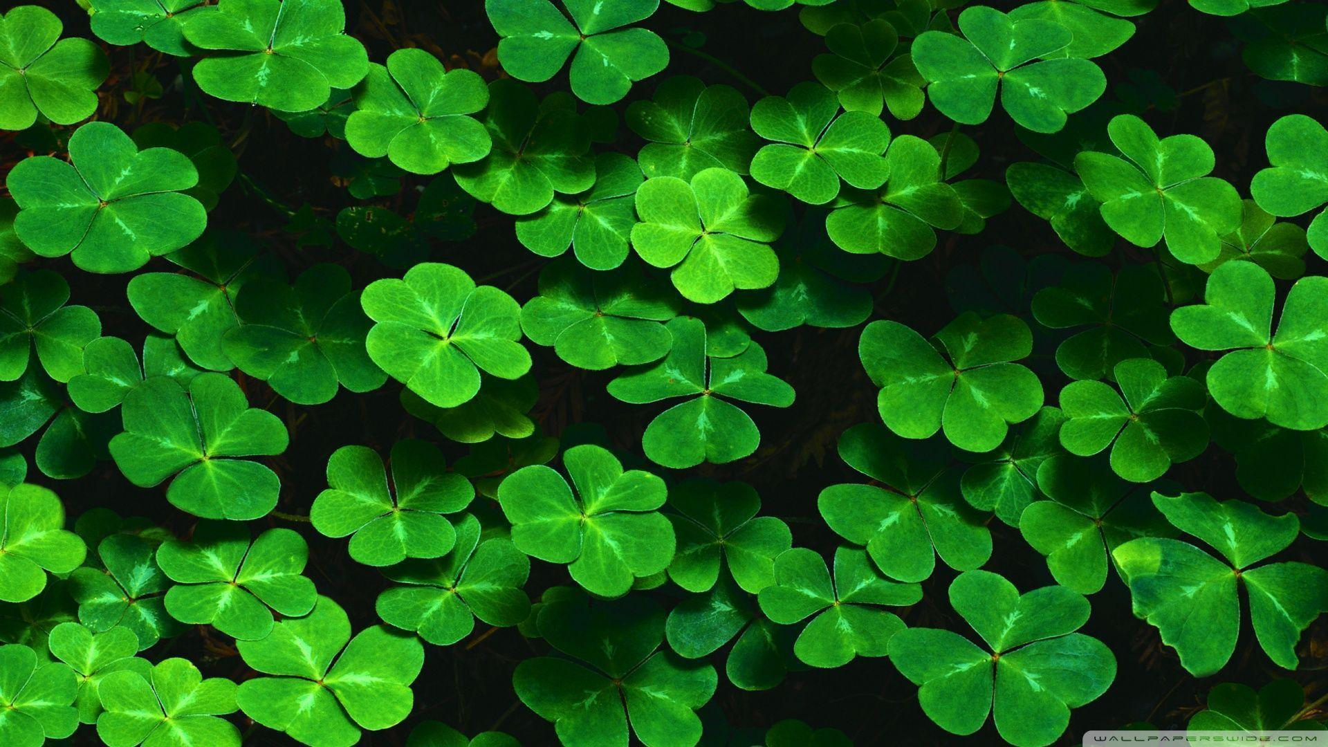 Wallpapers For > Four Leaf Clover Backgrounds