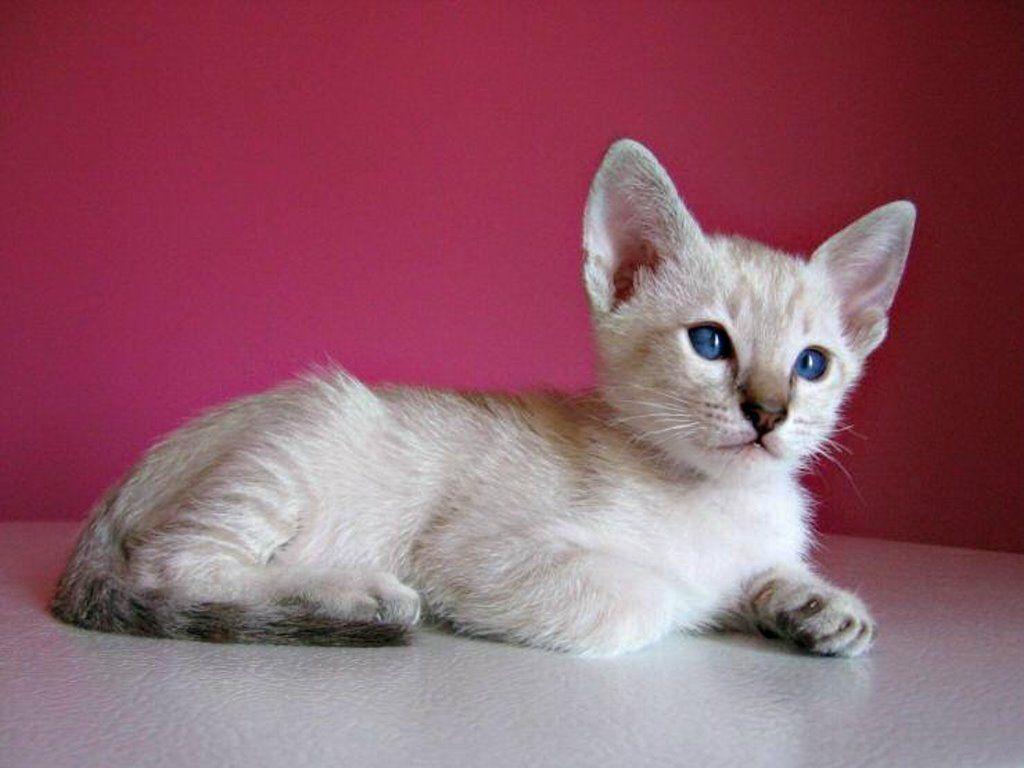 siamese cats wallpaper 3 - photo #19