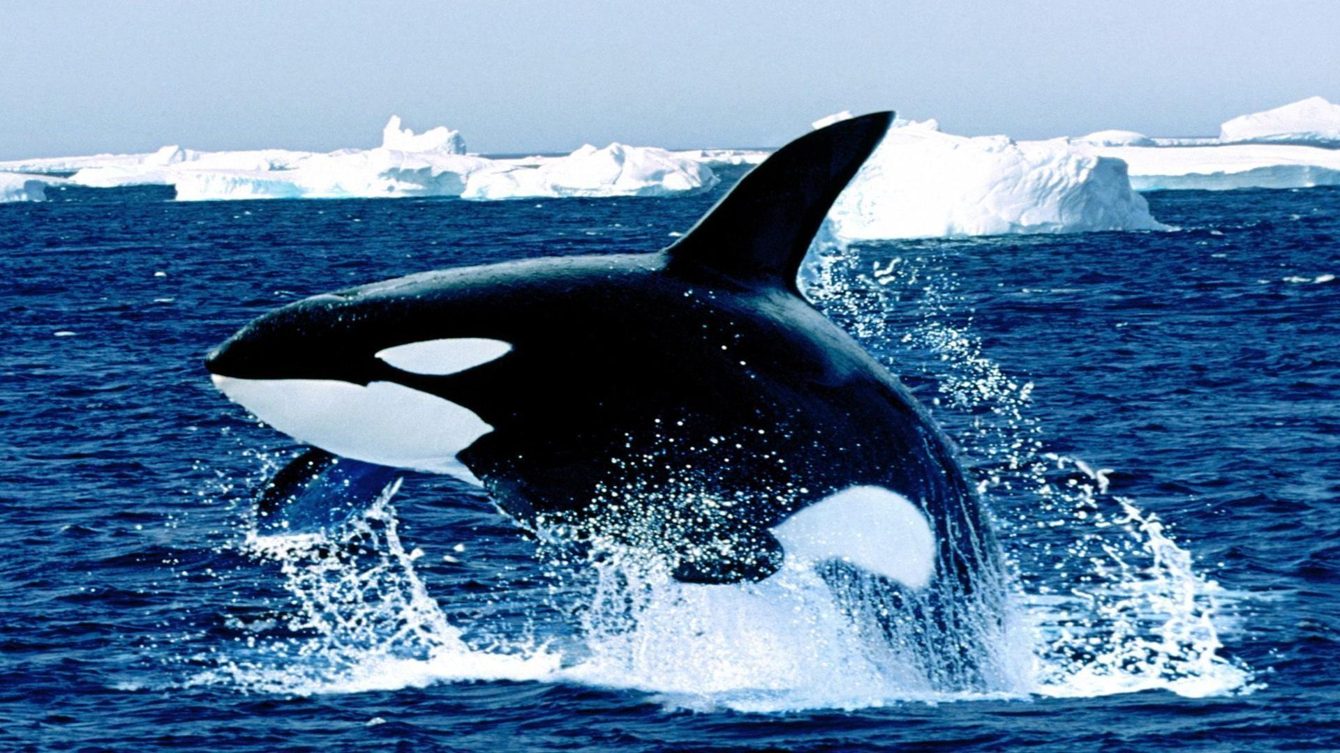 orca azul wallpaper - photo #1