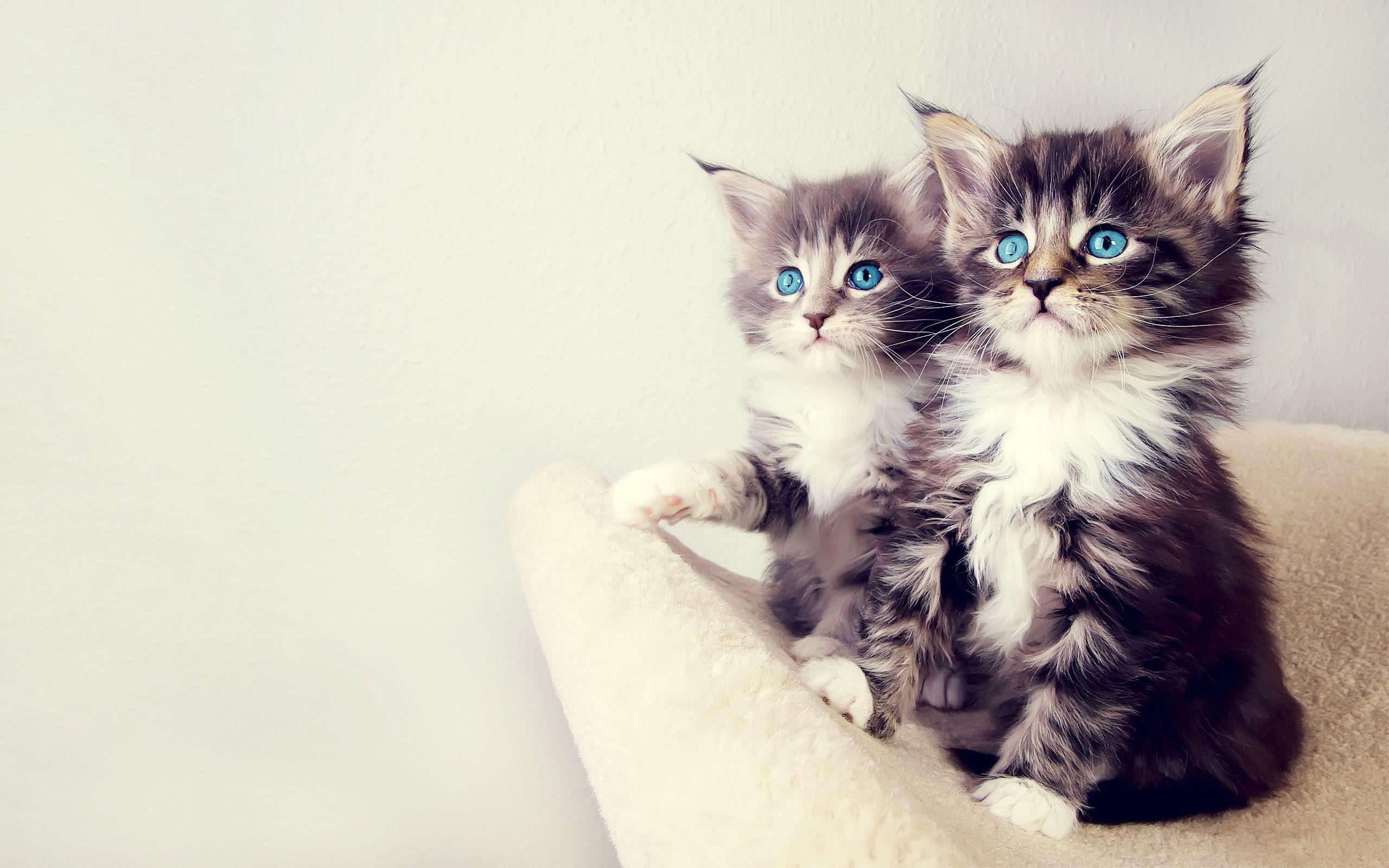 kitten desktop wallpaper blue eyes kittens desktop wallpaper
