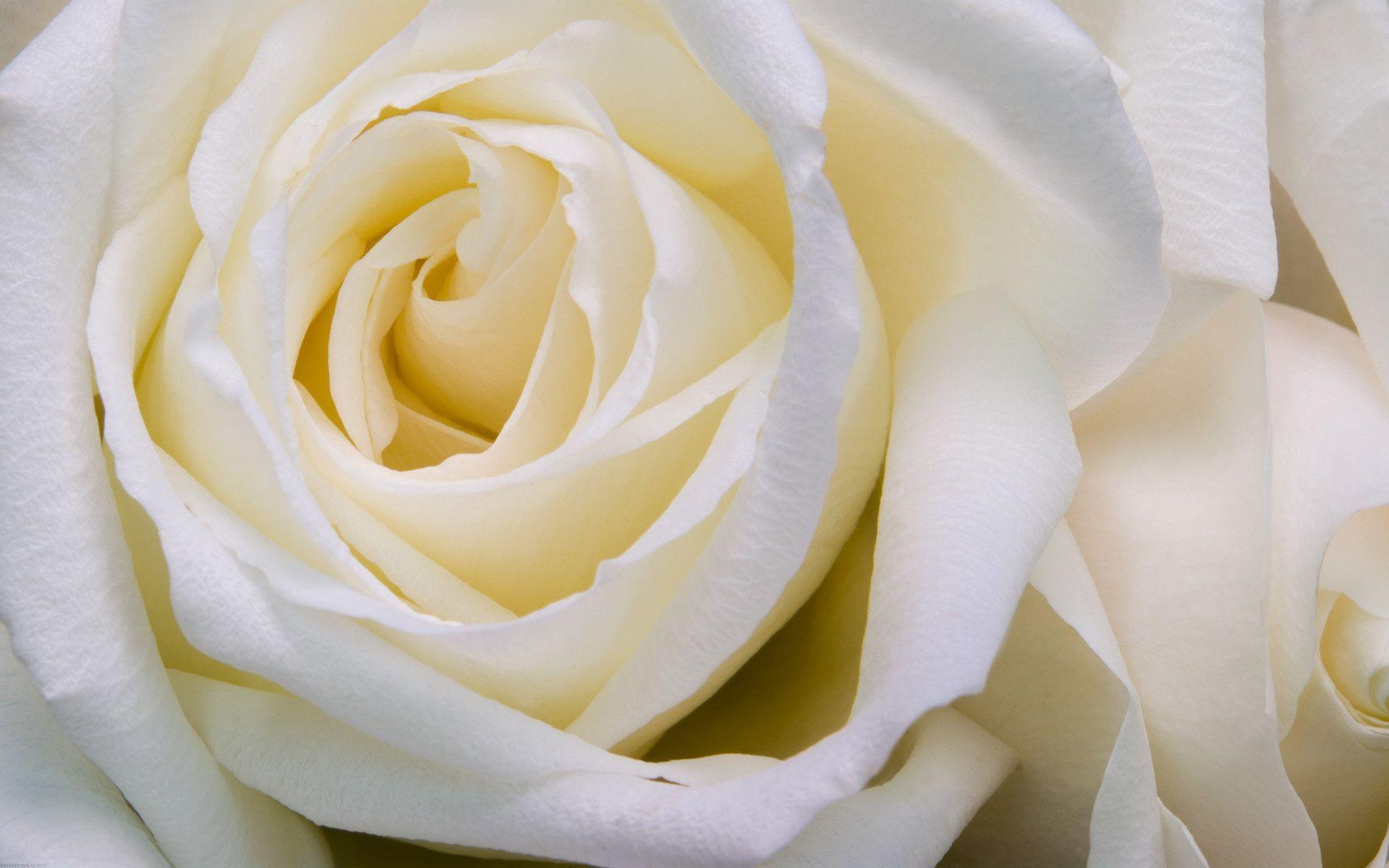 Wallpapers For > White Roses Backgrounds