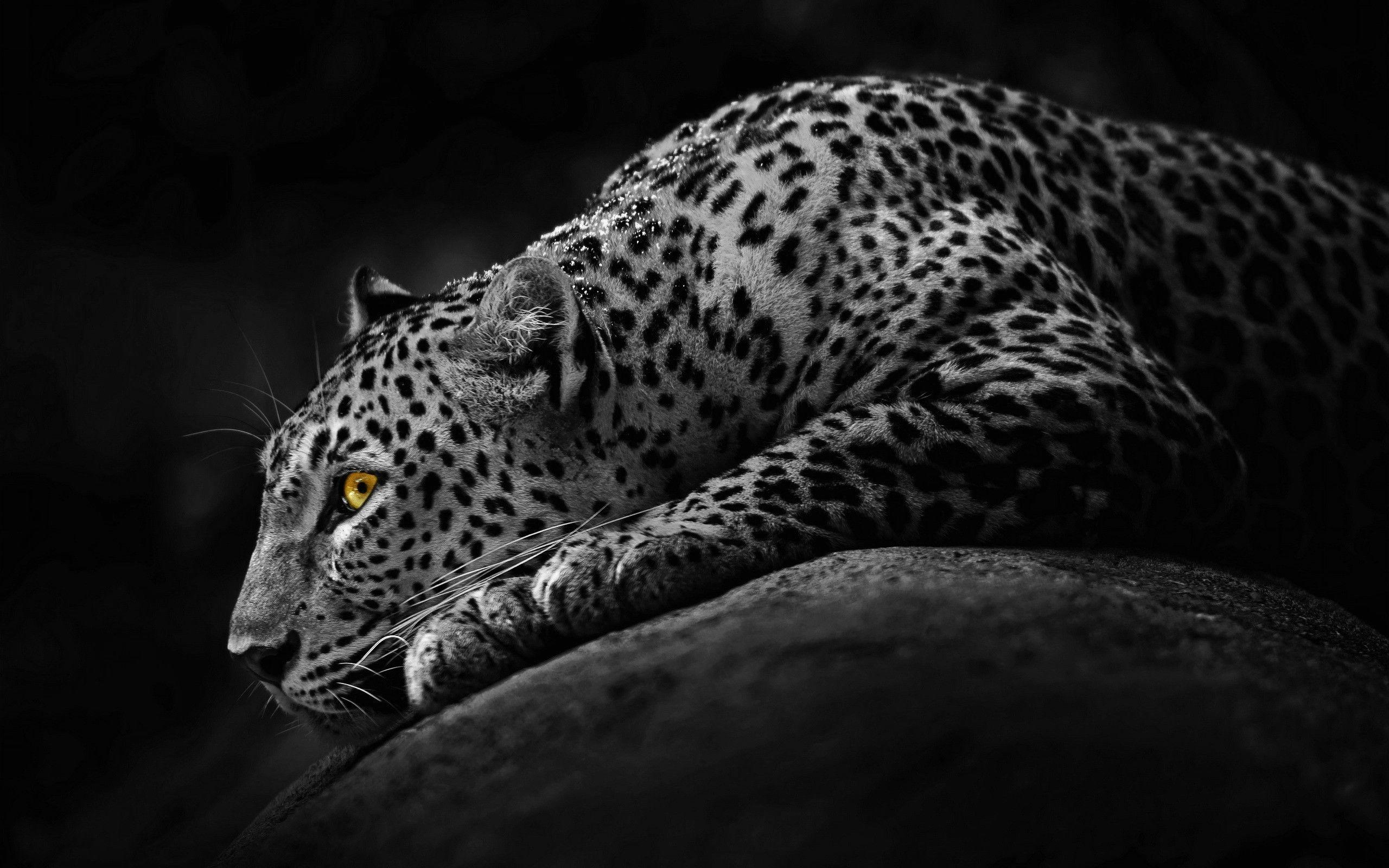 Black jaguar wallpapers wallpaper cave - Jaguar animal hd wallpapers ...