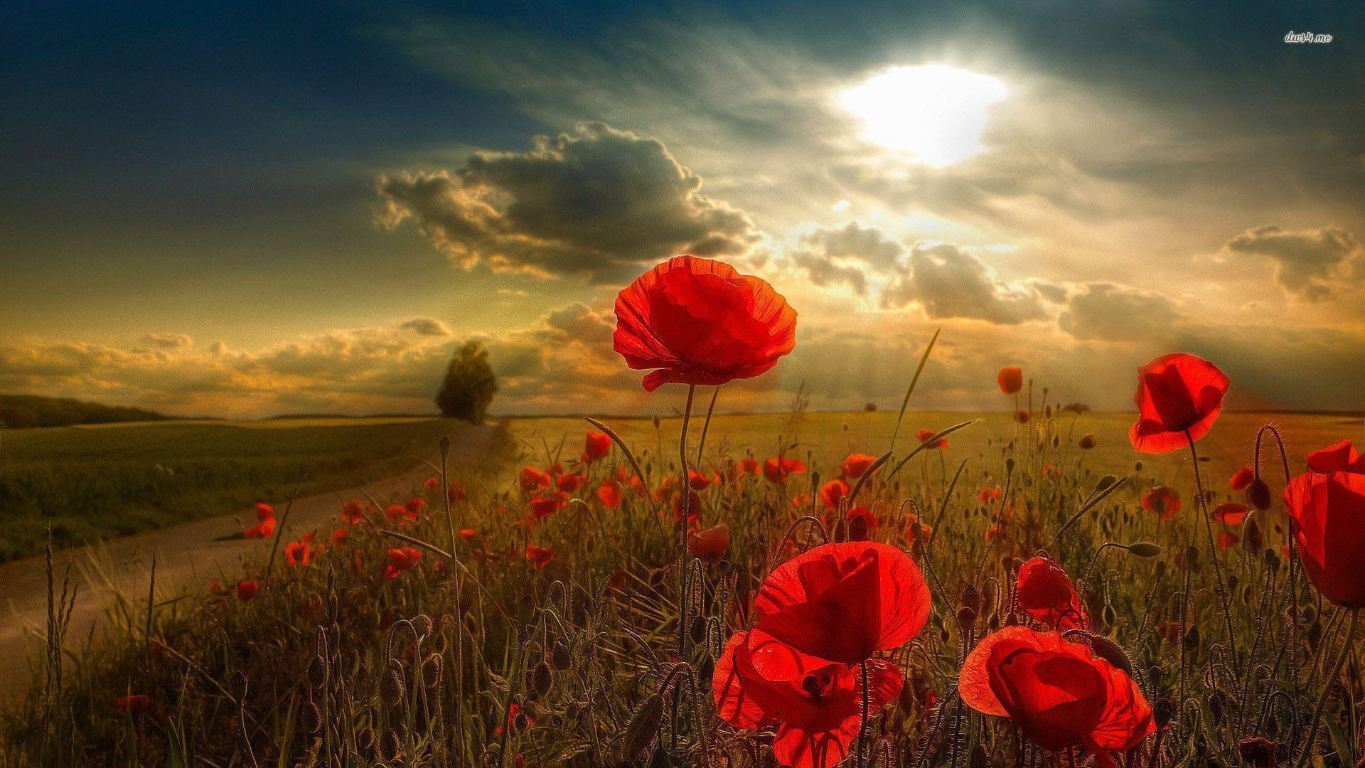 Wallpapers Poppies - Wallpaper Cave