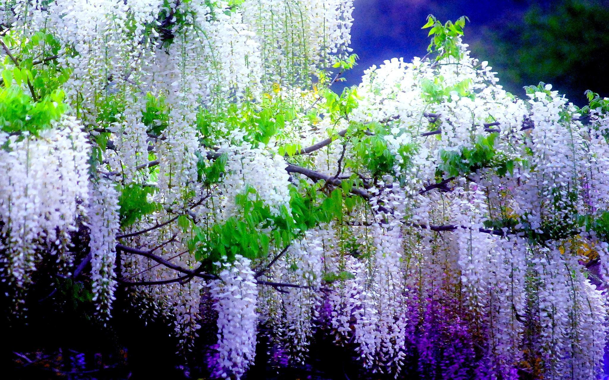 wisteria wallpapers wallpaper cave