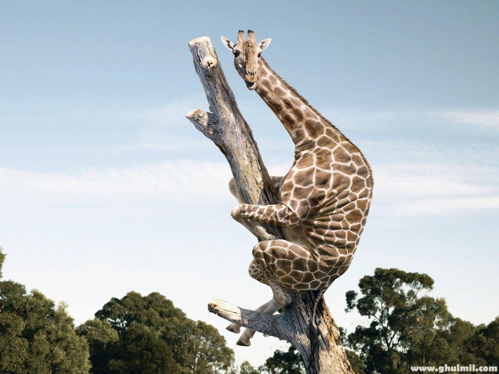 Giraffe Wallpapers Wallpaper