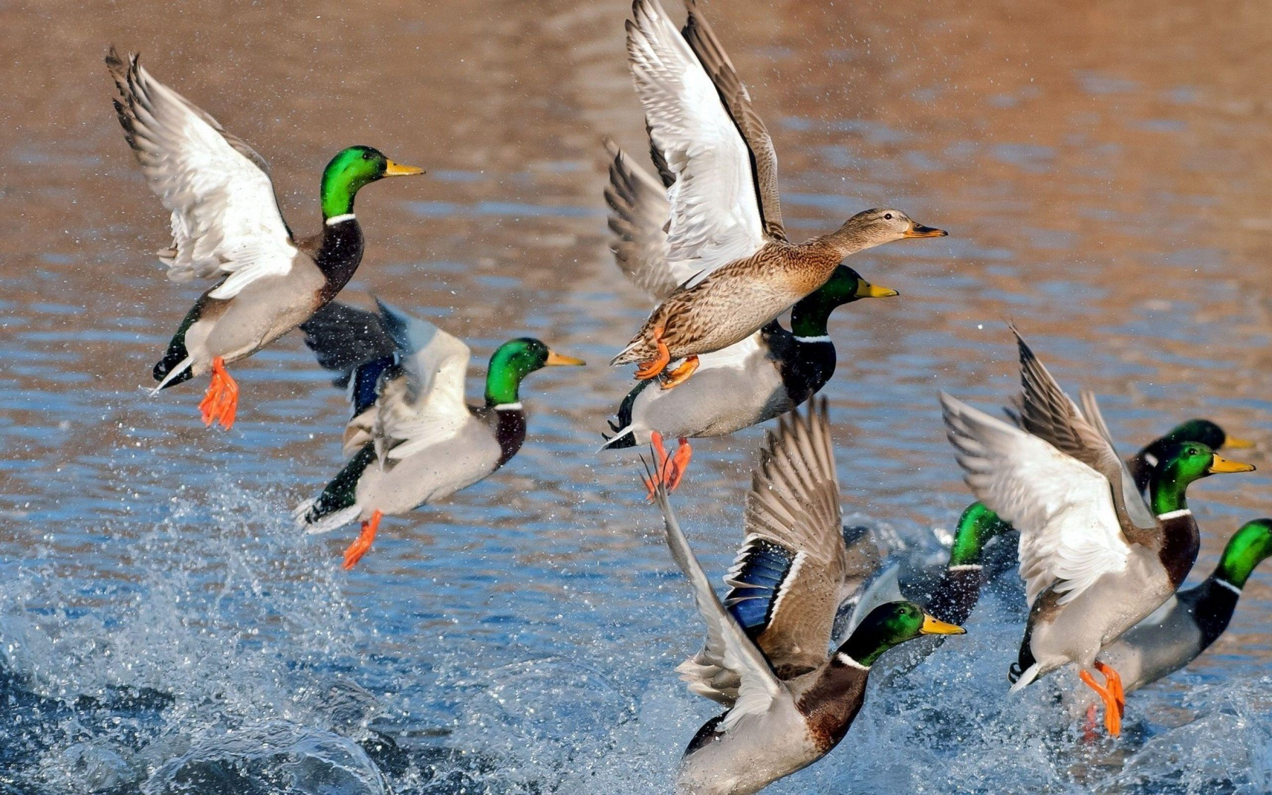 Mallard Duck Wallpapers Wallpaper Cave