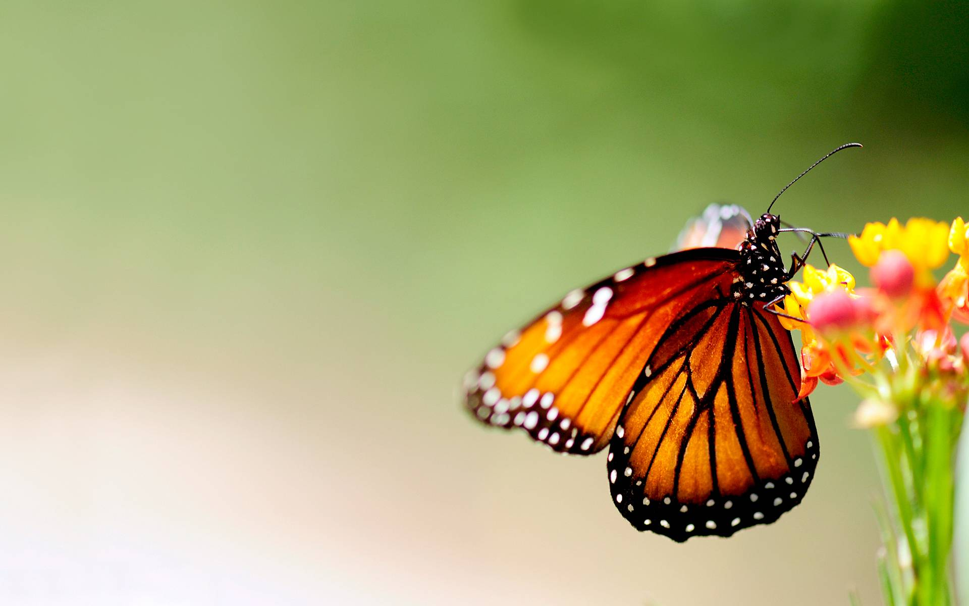 butterfly wallpapers flying - photo #15