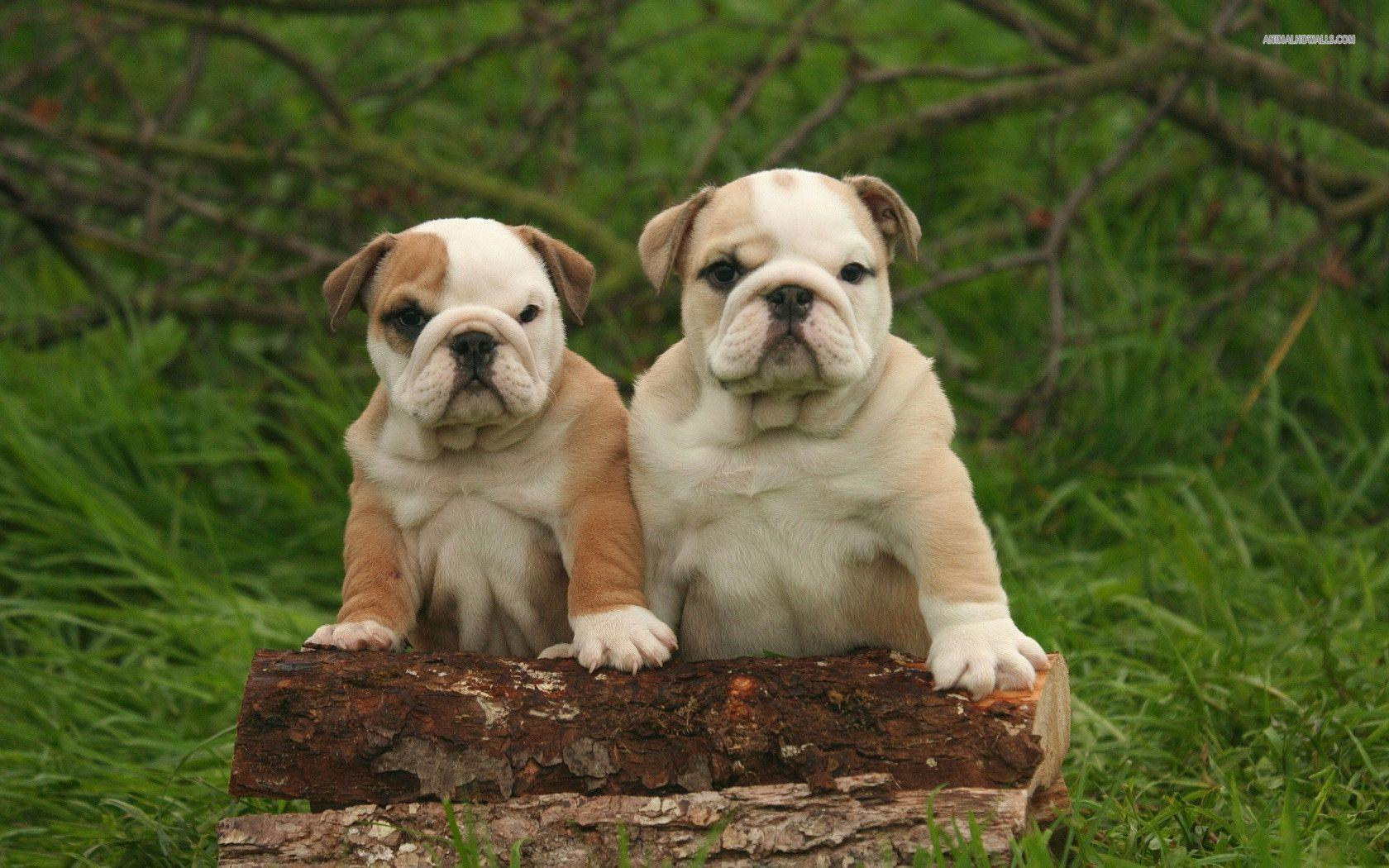 english bulldog wallpaper english bulldog wallpapers wallpaper cave 2872