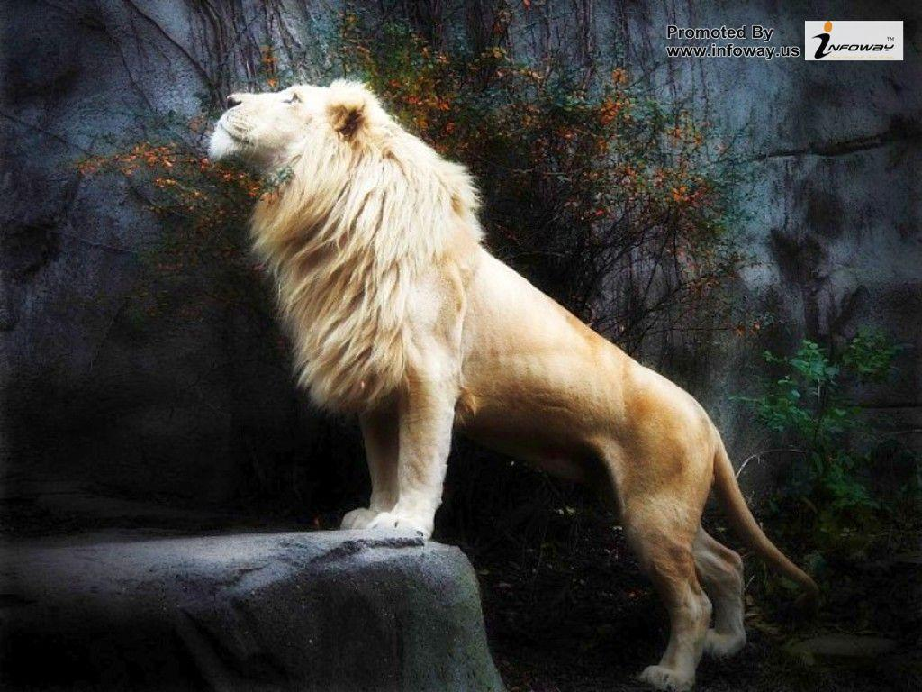 white lion wallpapers wallpaper cave
