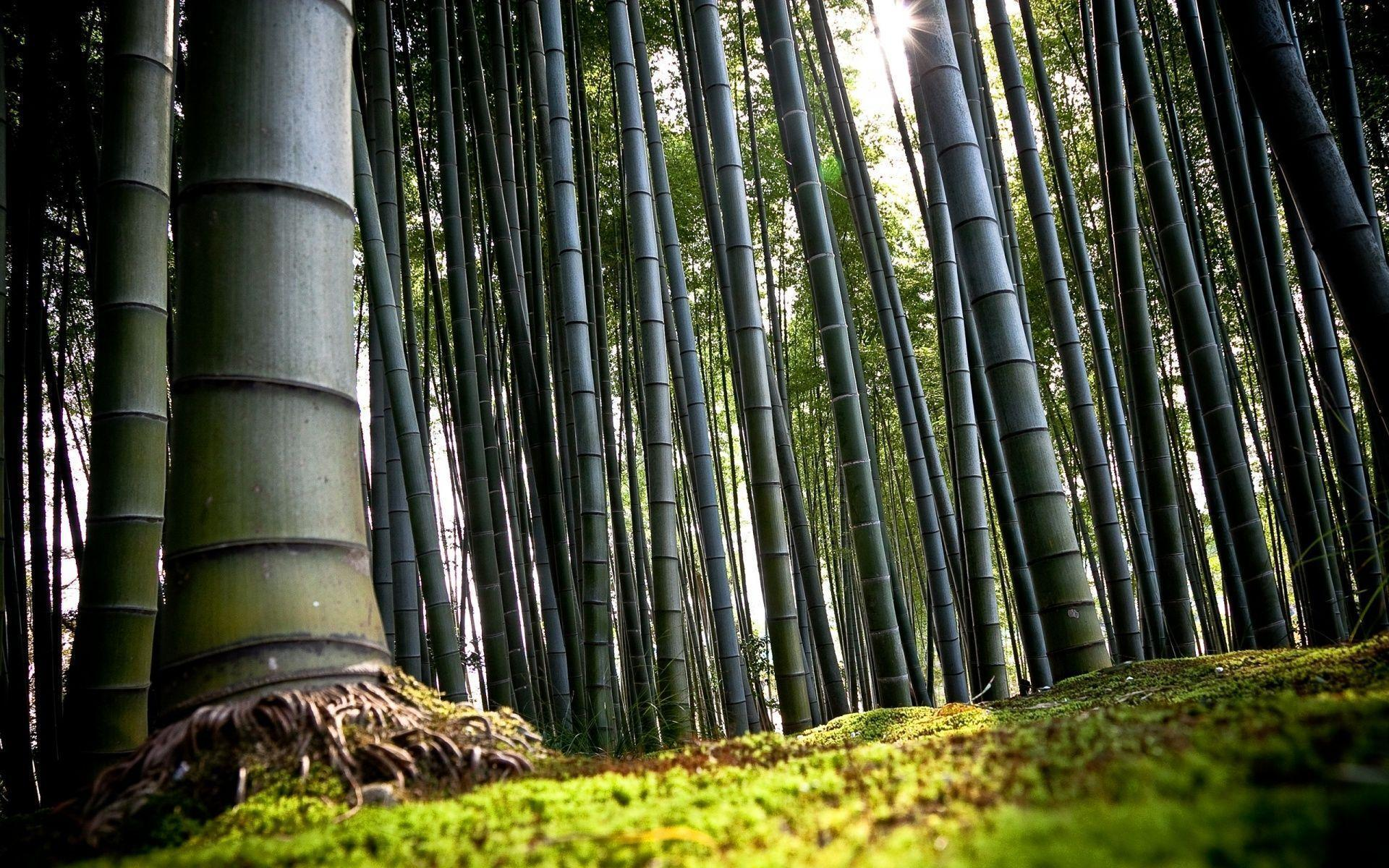 Bamboo Trees Forest HD Computer Backgrounds Wallpapers