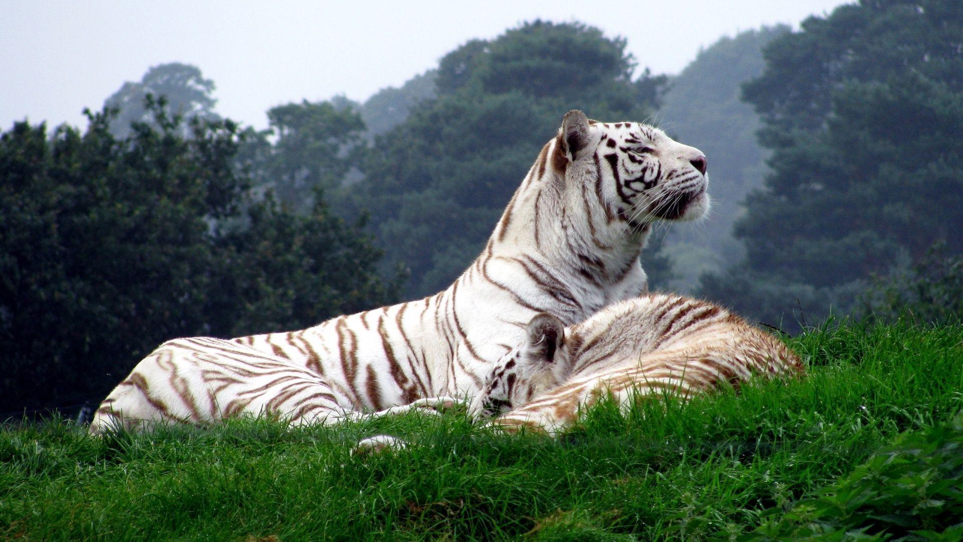wallpaper hd white tiger - photo #11