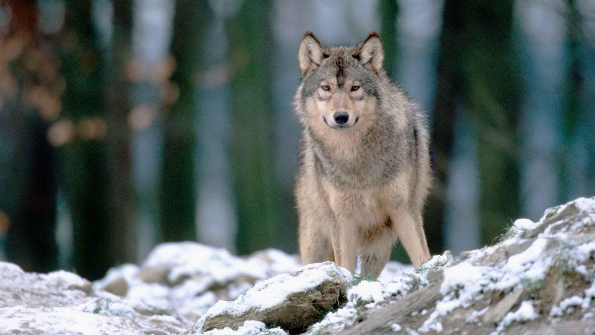 Download Woods Wolves Wallpaper 1920x1080 | Wallpoper #399040