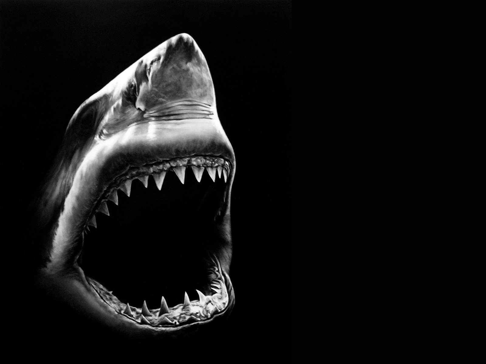 Shark Wallpapers - Wallpaper Cave