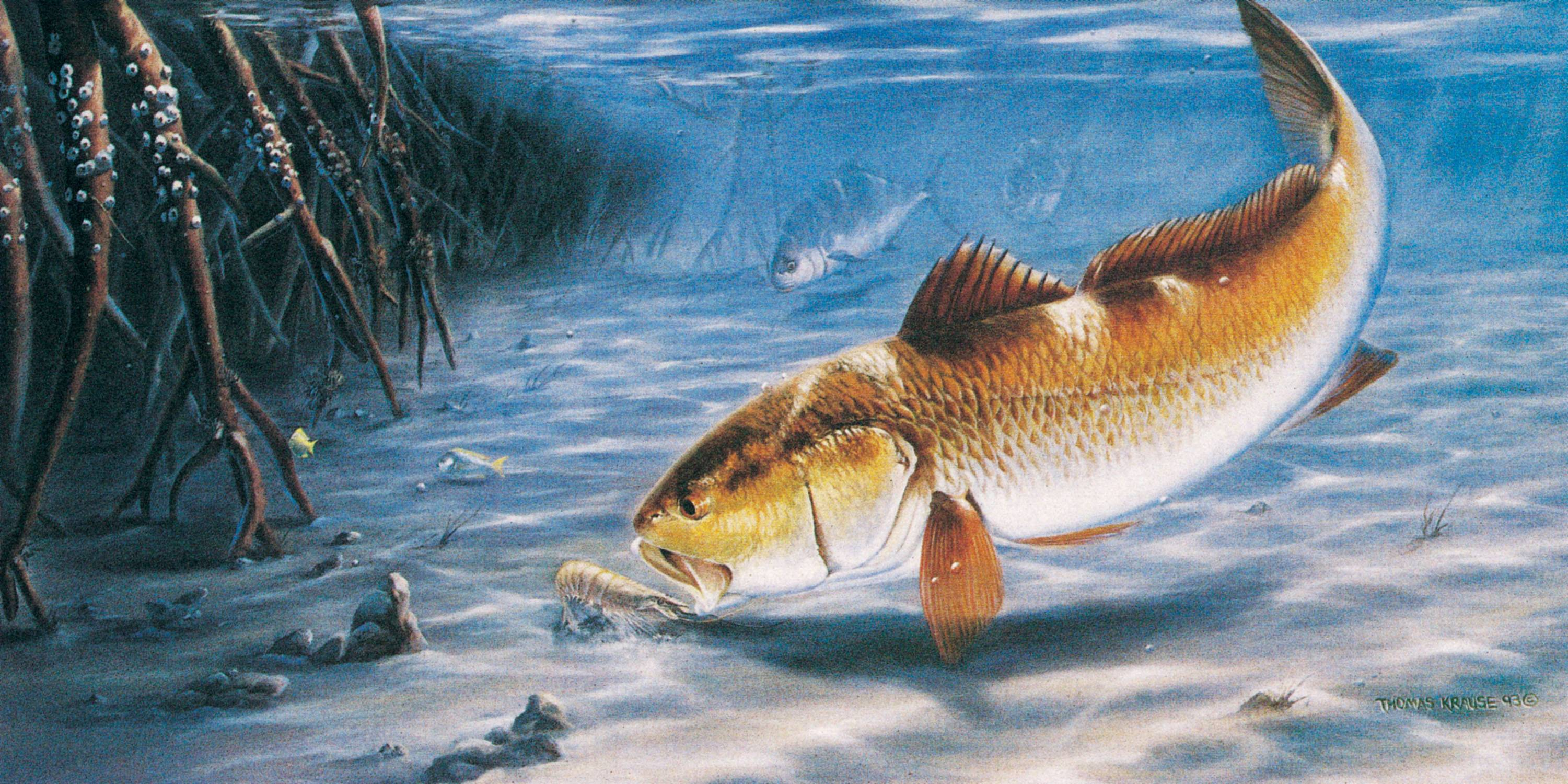 Redfish Wallpapers 14917 HD Wallpapers