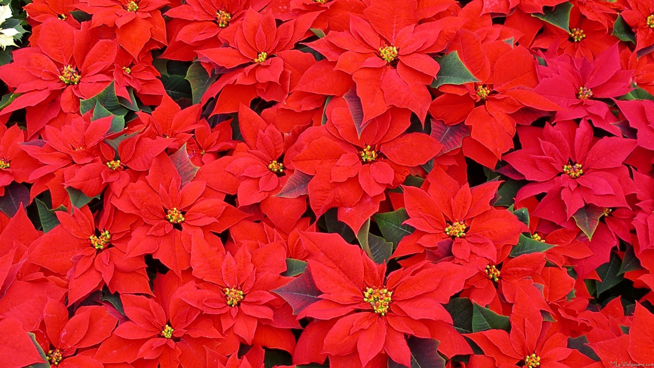 Poinsettia wallpapers wallpaper cave