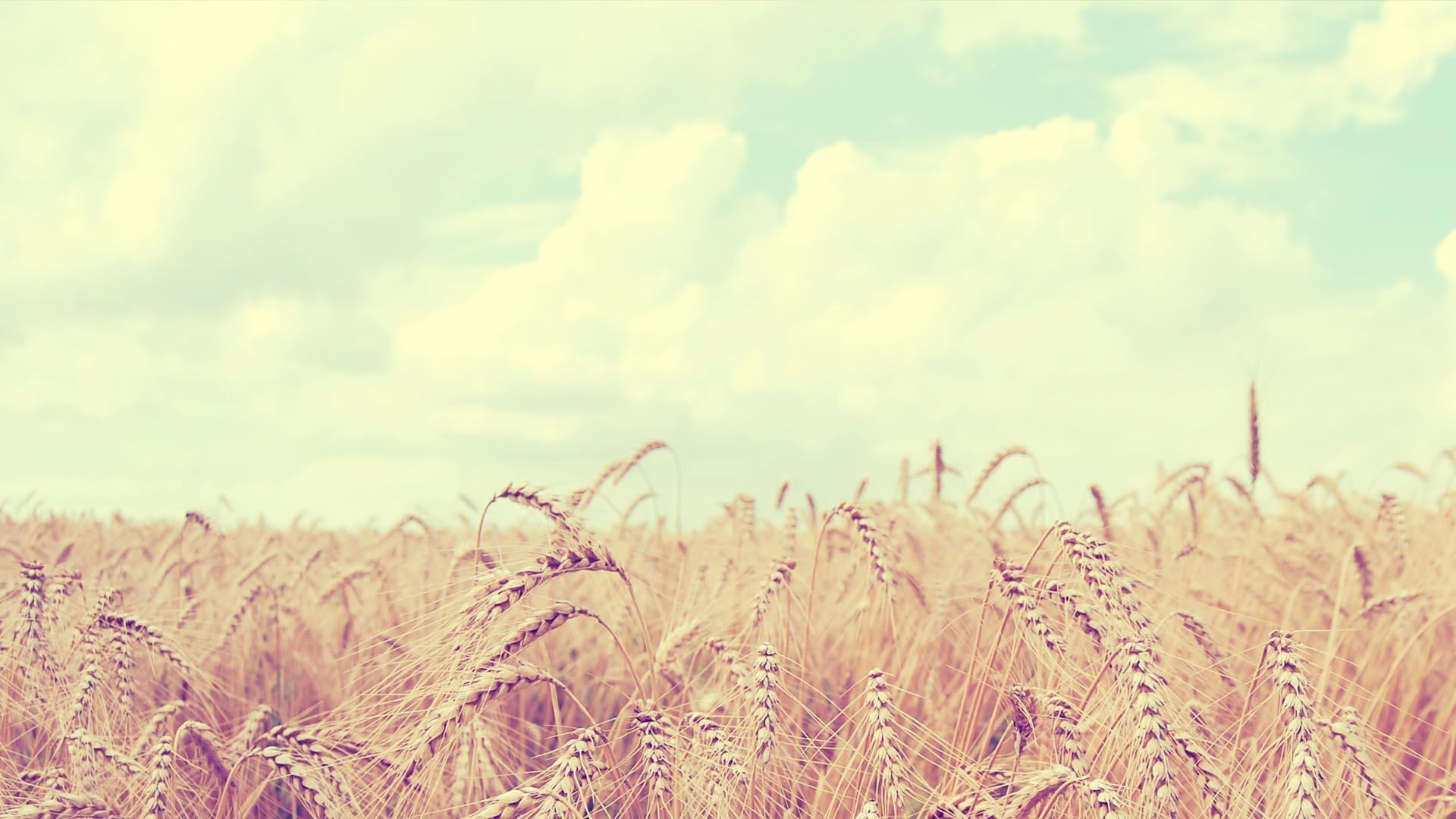 Soft Wheat Field HD Wallpaper » FullHDWpp - Full HD Wallpapers ...