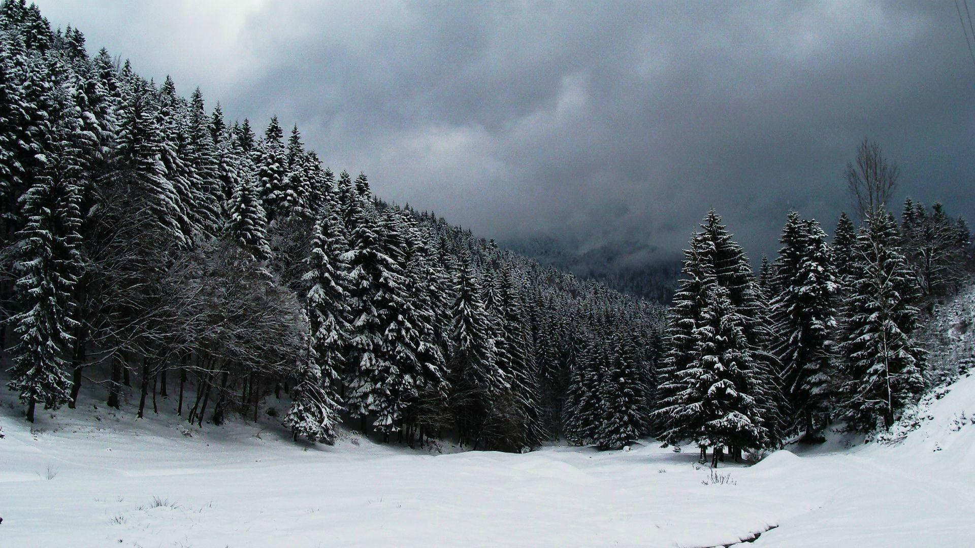 snowy fir trees forest - photo #35