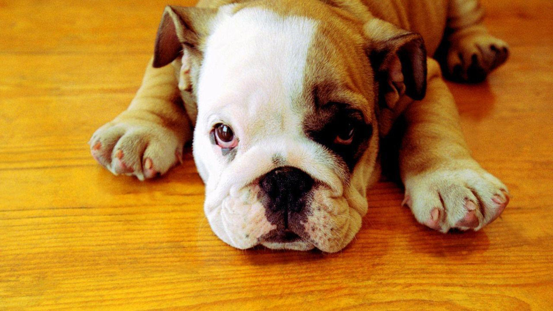 english bulldog wallpaper english bulldog wallpapers wallpaper cave 559