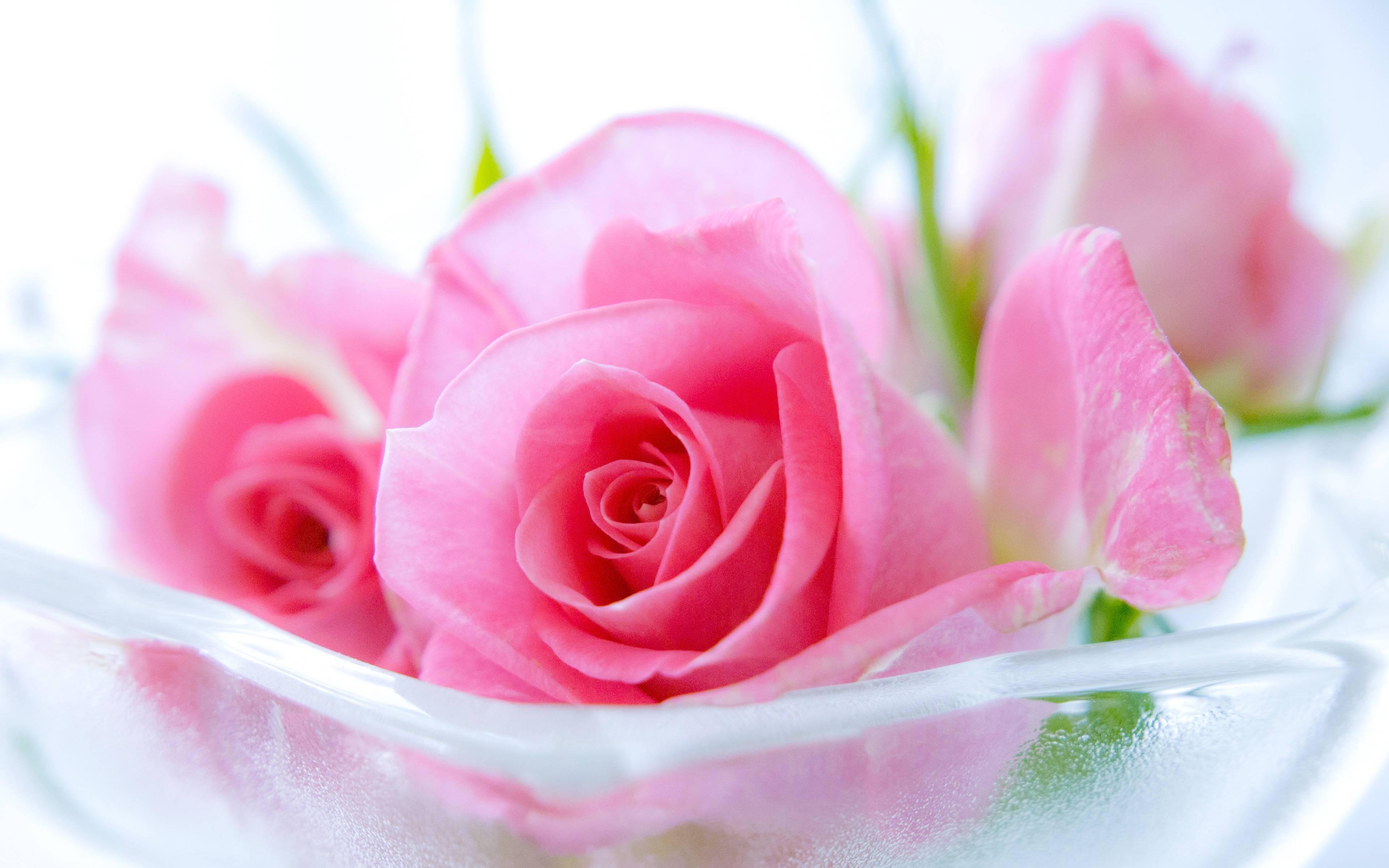Pink Rose Wallpaper Design Hd Wallpapers