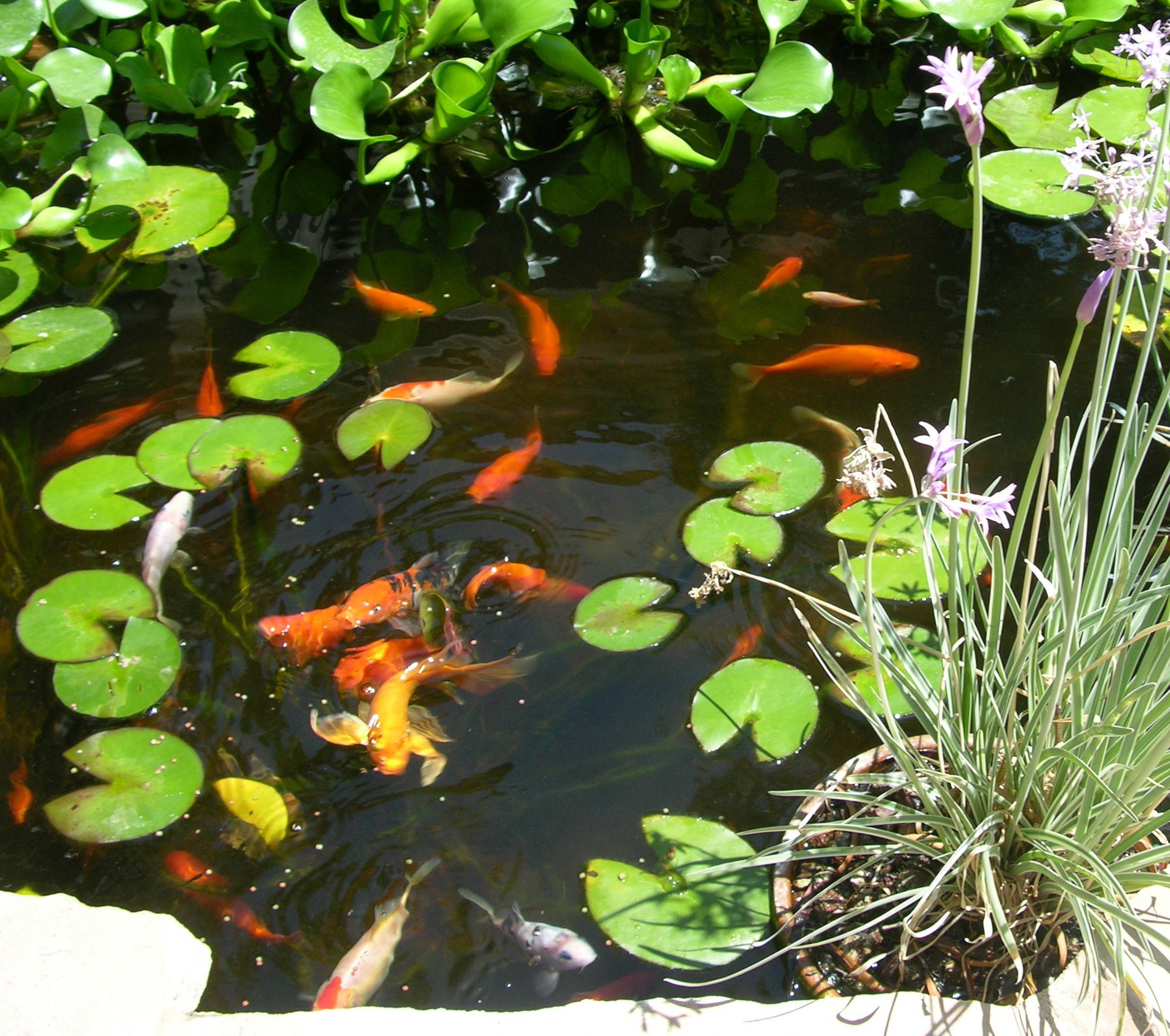 Koi pond wallpapers wallpaper cave for Fish pond game