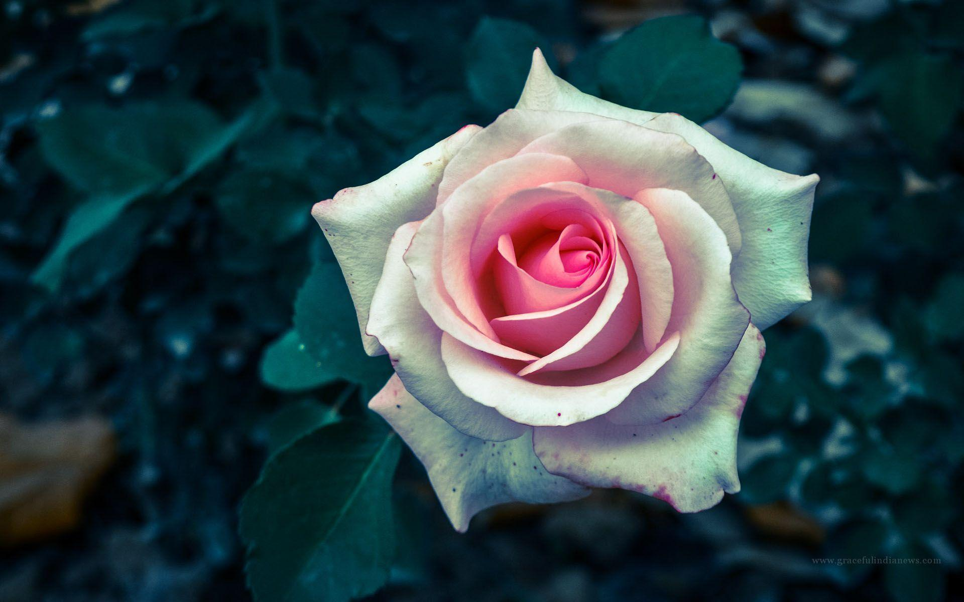 wallpapers of rose flower wallpaper cave