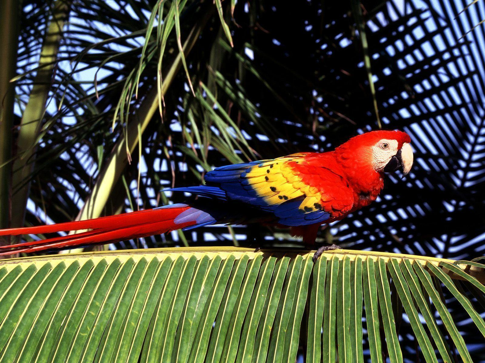 Free wallpaper Tropical perch scarlet macaw parrot
