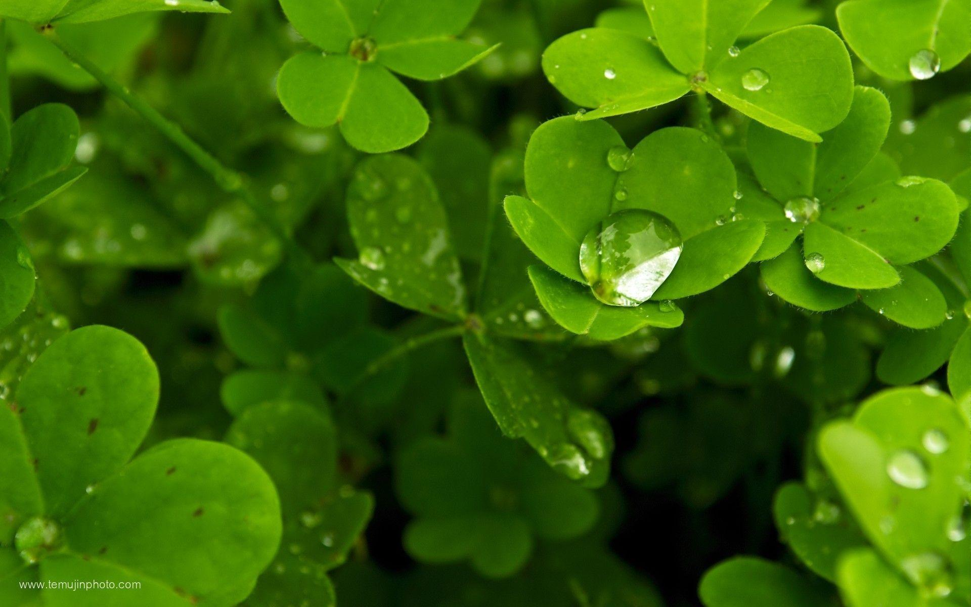 Image For > Shamrock Desktop Wallpapers