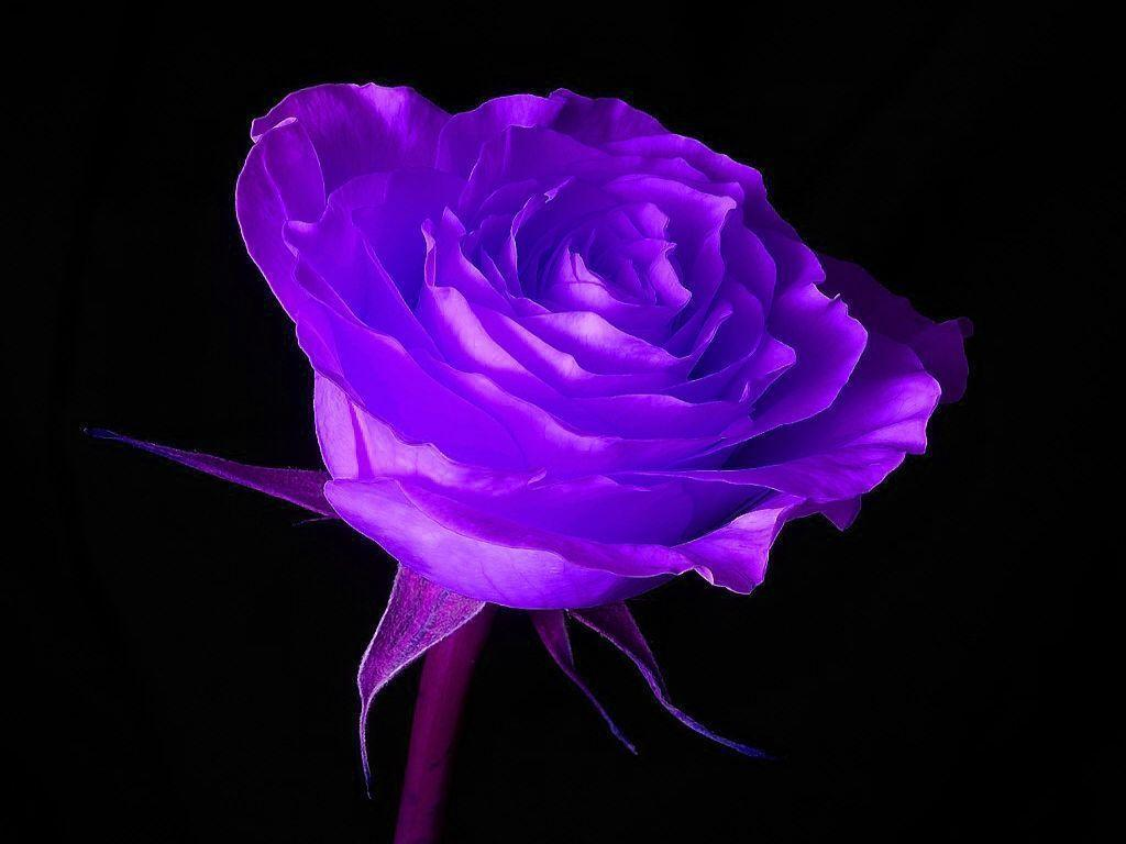 Purple Roses Background Images: Purple And Black Backgrounds