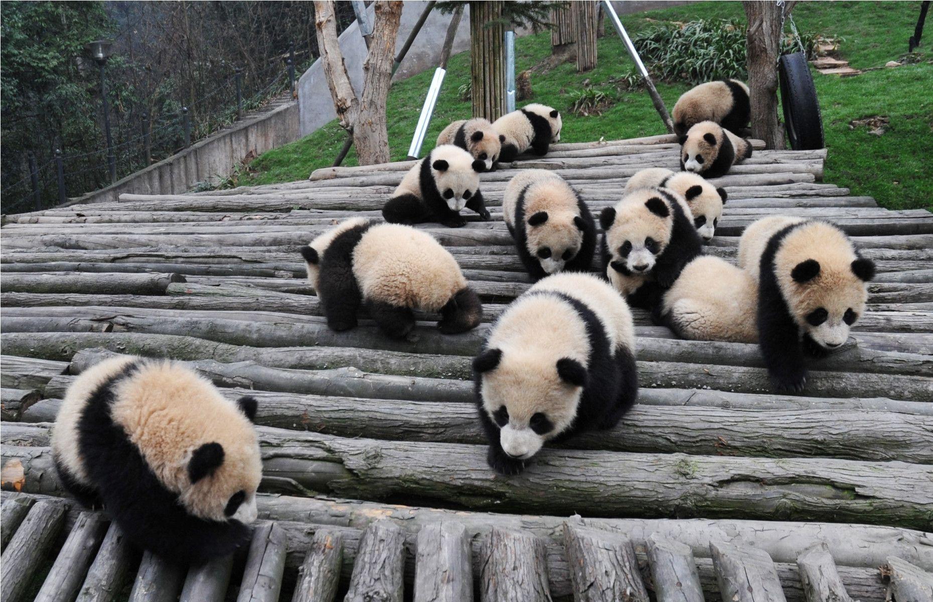 baby panda wallpapers wallpaper cave