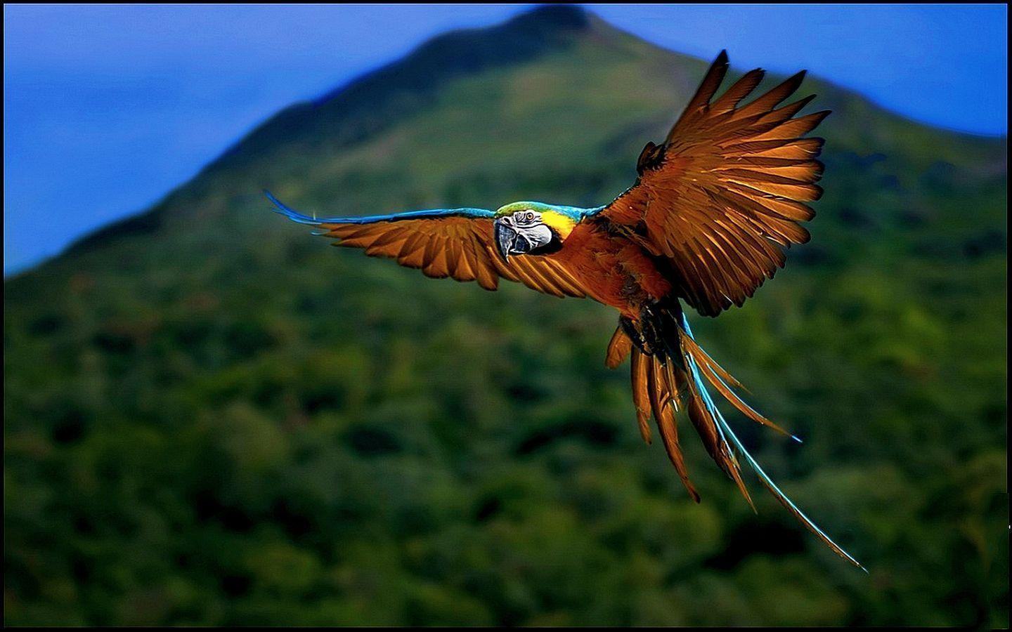 flying macaw wallpaper - Animal Backgrounds