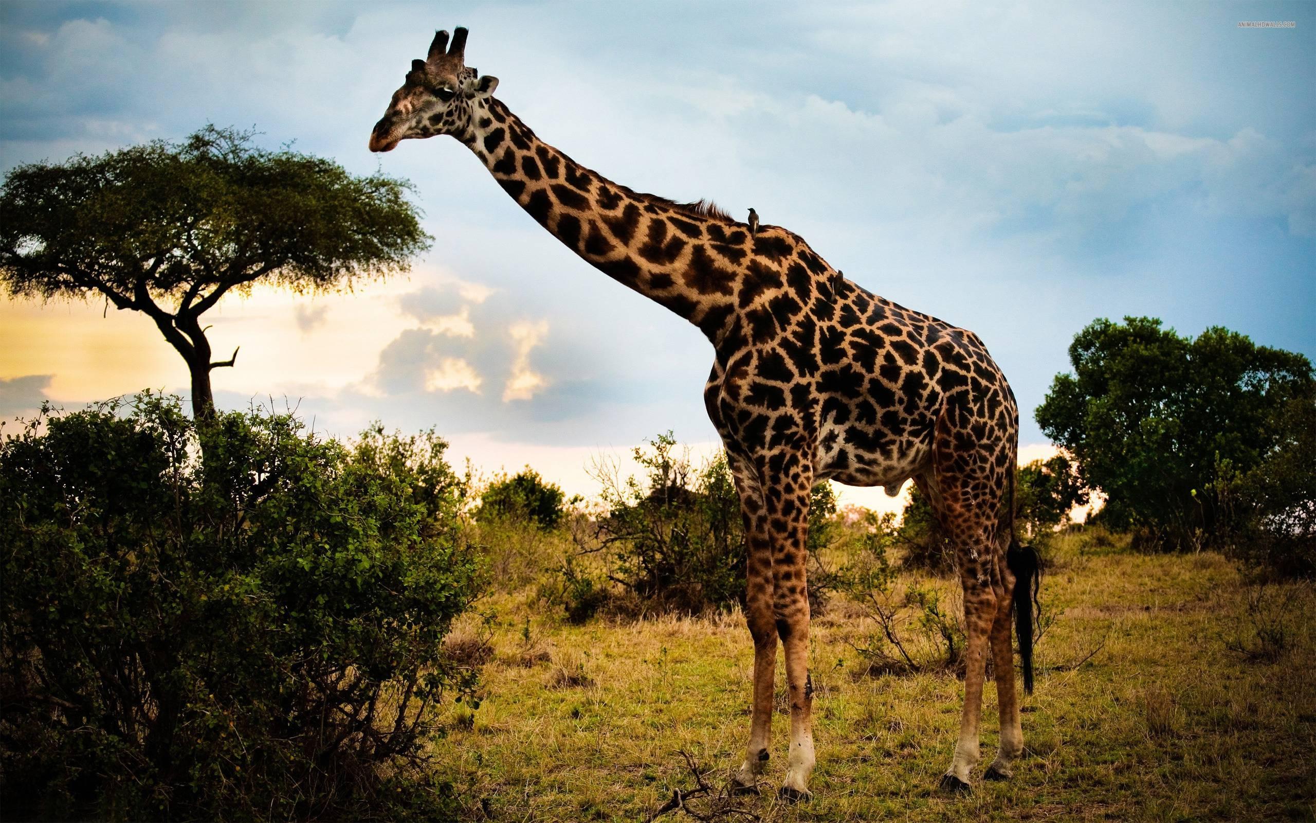 Giraffe Wallpapers - Wallpaper Cave