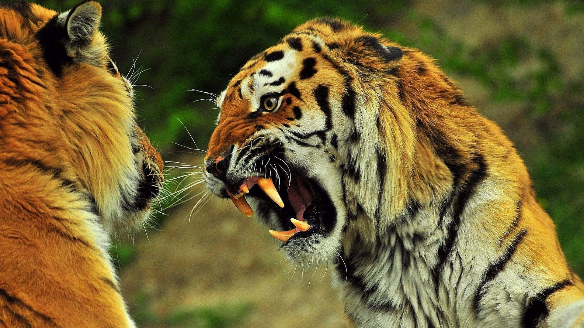 Angry Tiger wallpaper - 845572