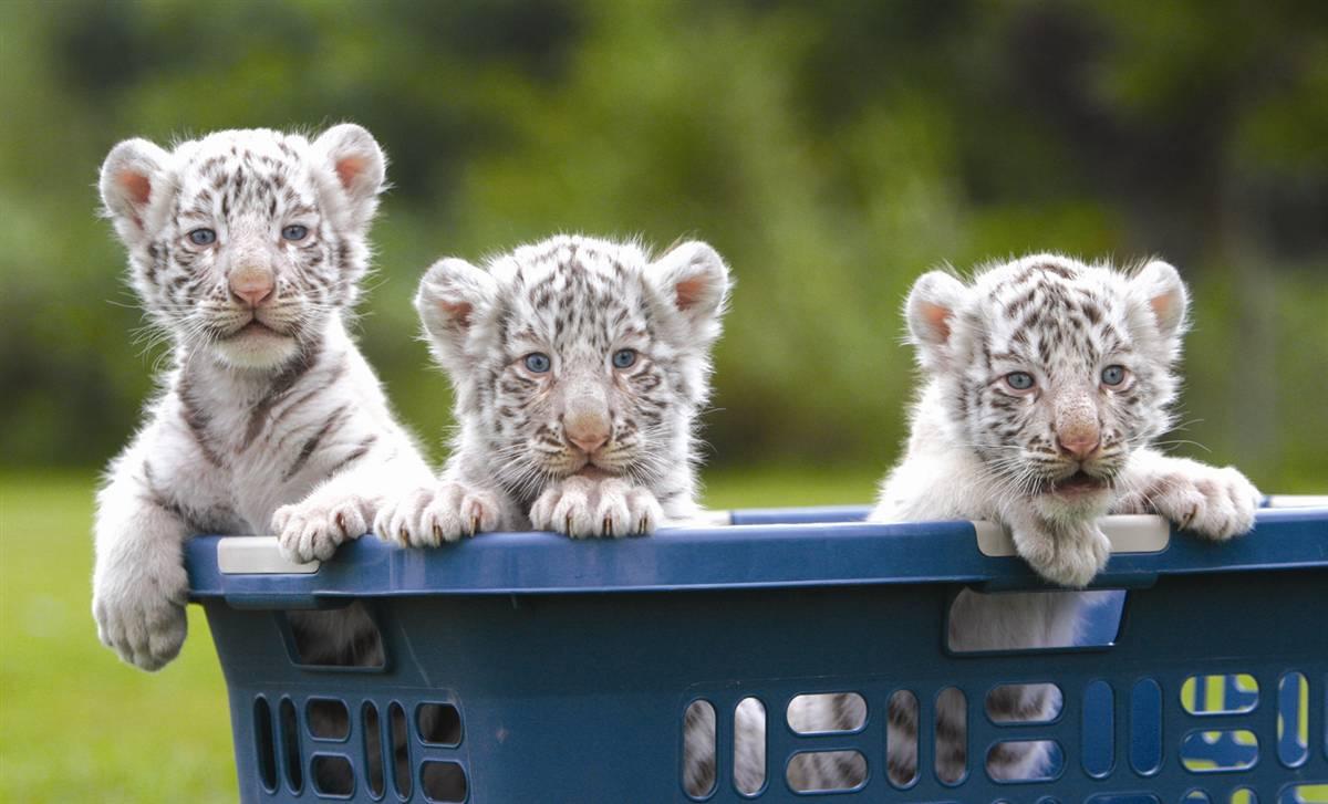 baby white tiger - 1200×727