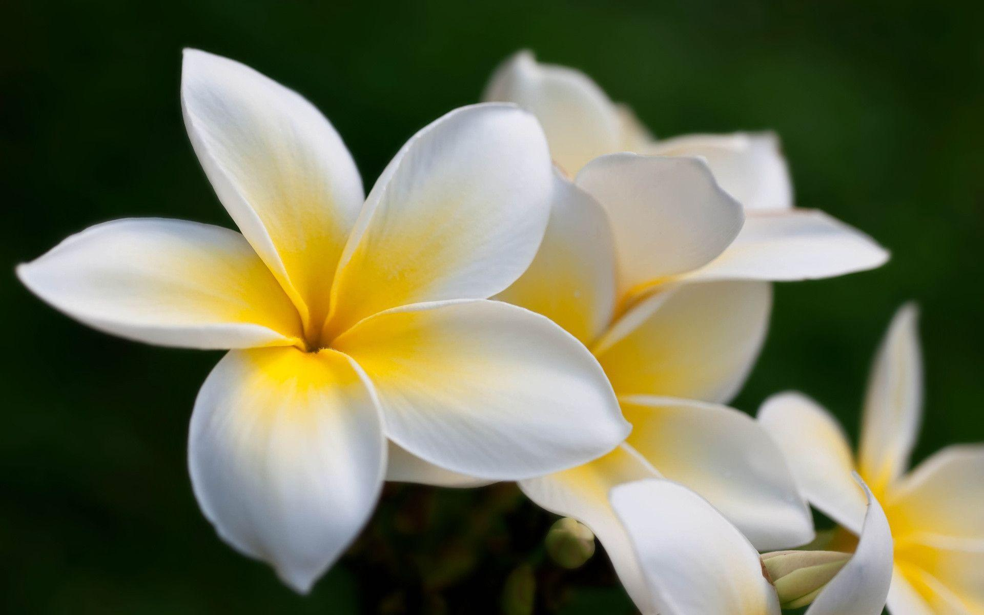 Plumeria Wallpapers Wallpaper Cave HD Wallpapers Download Free Images Wallpaper [1000image.com]