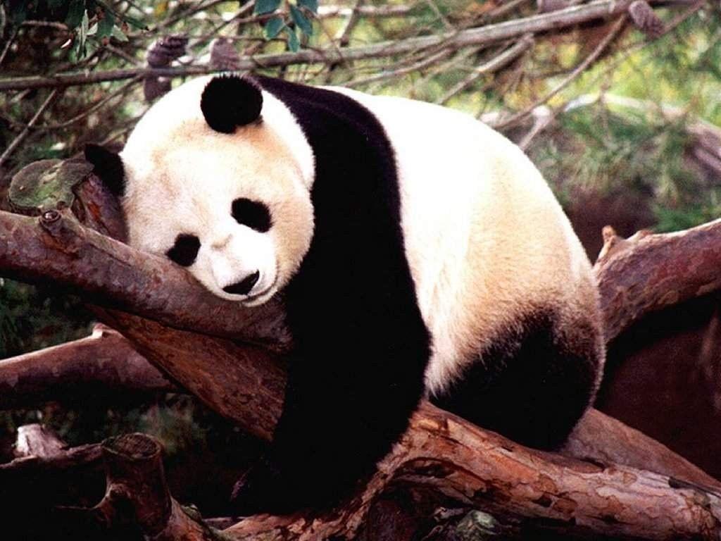 Wallpapers For > Baby Panda Bear Wallpaper