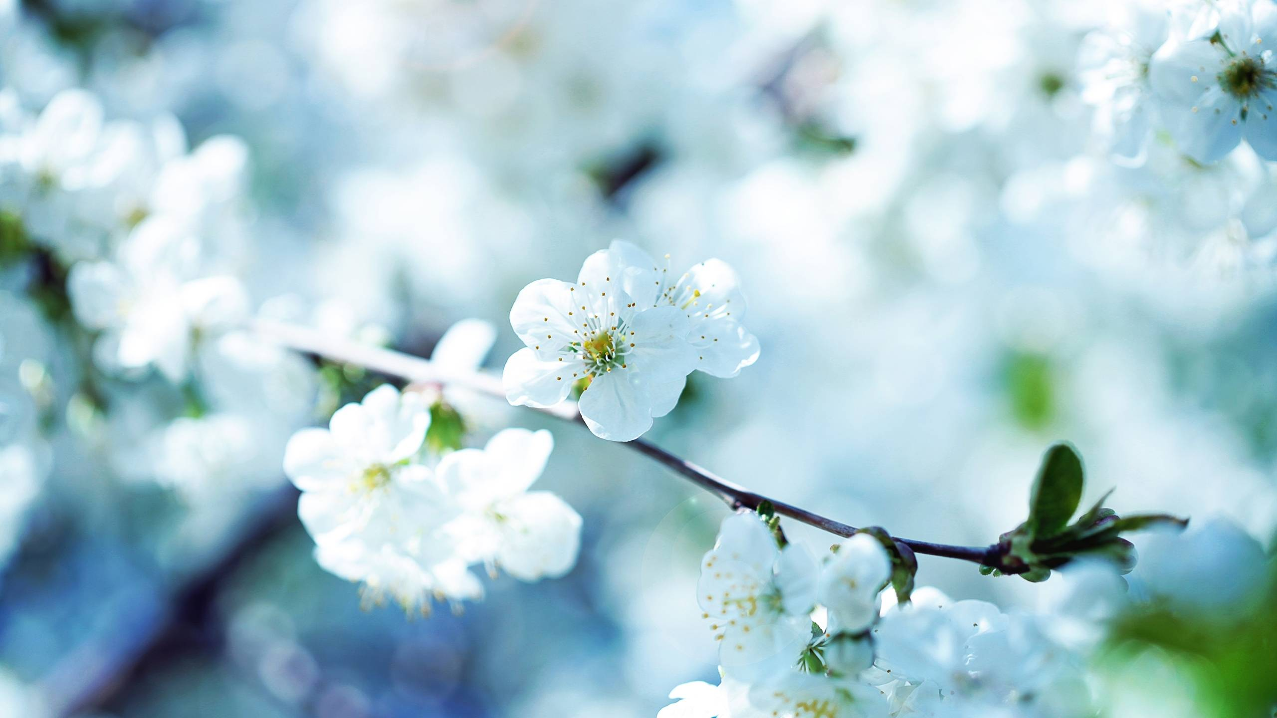Cherry blossom white flowers branch close up hd wallpaper zoomwalls - Nature Spring Season Blossoms Flowers Wallpape 901 Wallpaper