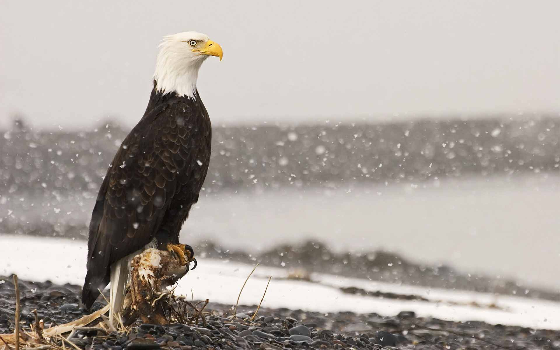 Eagle HD Wallpapers | Eagle New images and Pictures | Cool Wallpapers