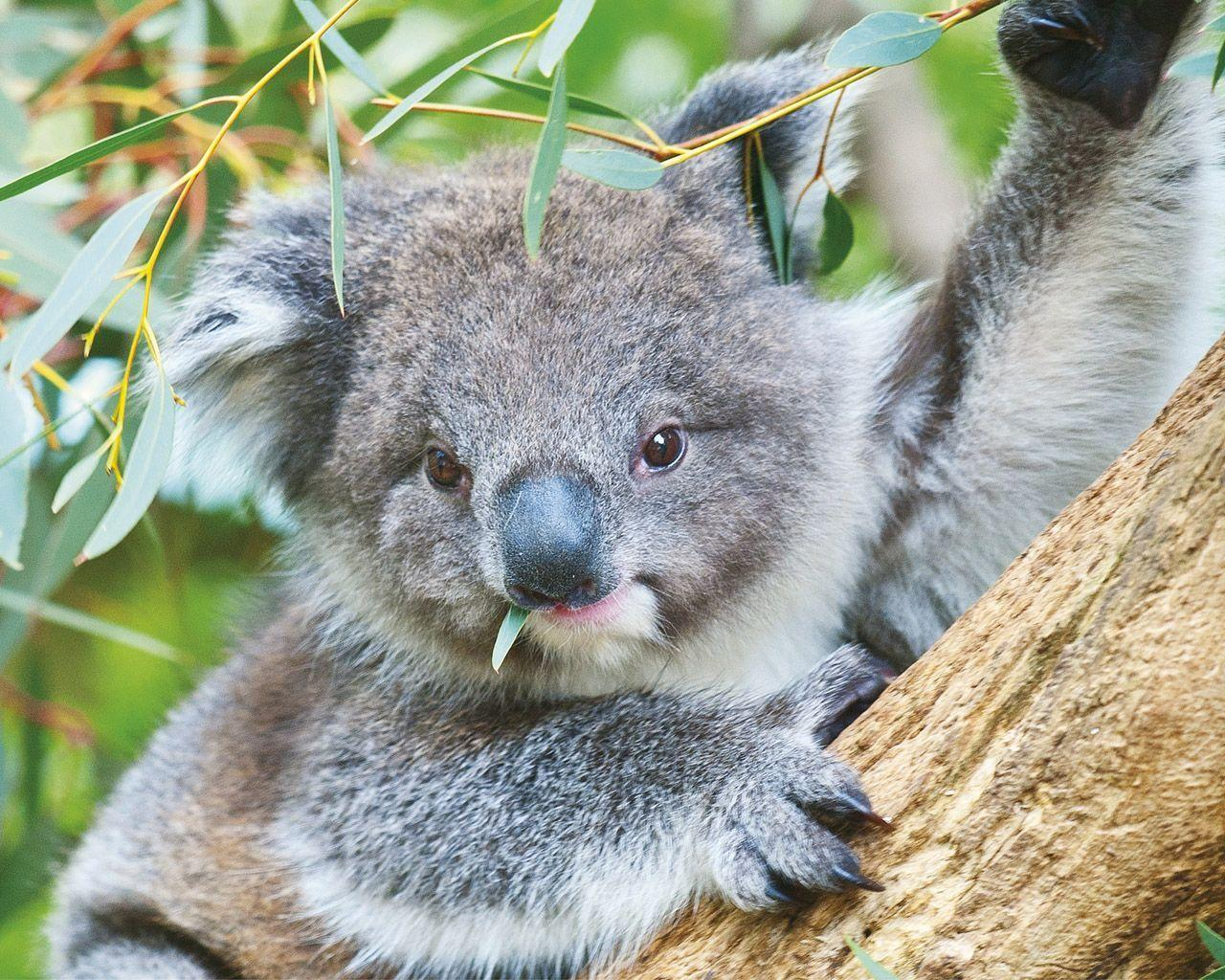 Koala - Australia Wallpaper (32220219) - Fanpop