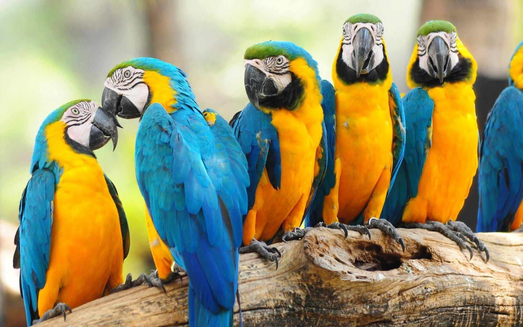 Macaw Parrot Wallpapers - 1680x1050 - 413150