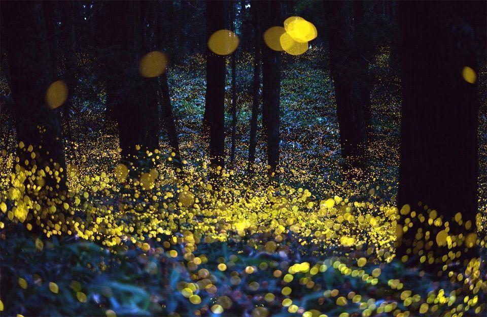 Fireflies On Long Exposure Photo