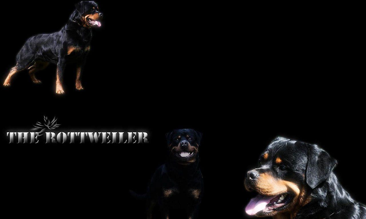 Widescreen wallpaper of rottweiler wallpaper