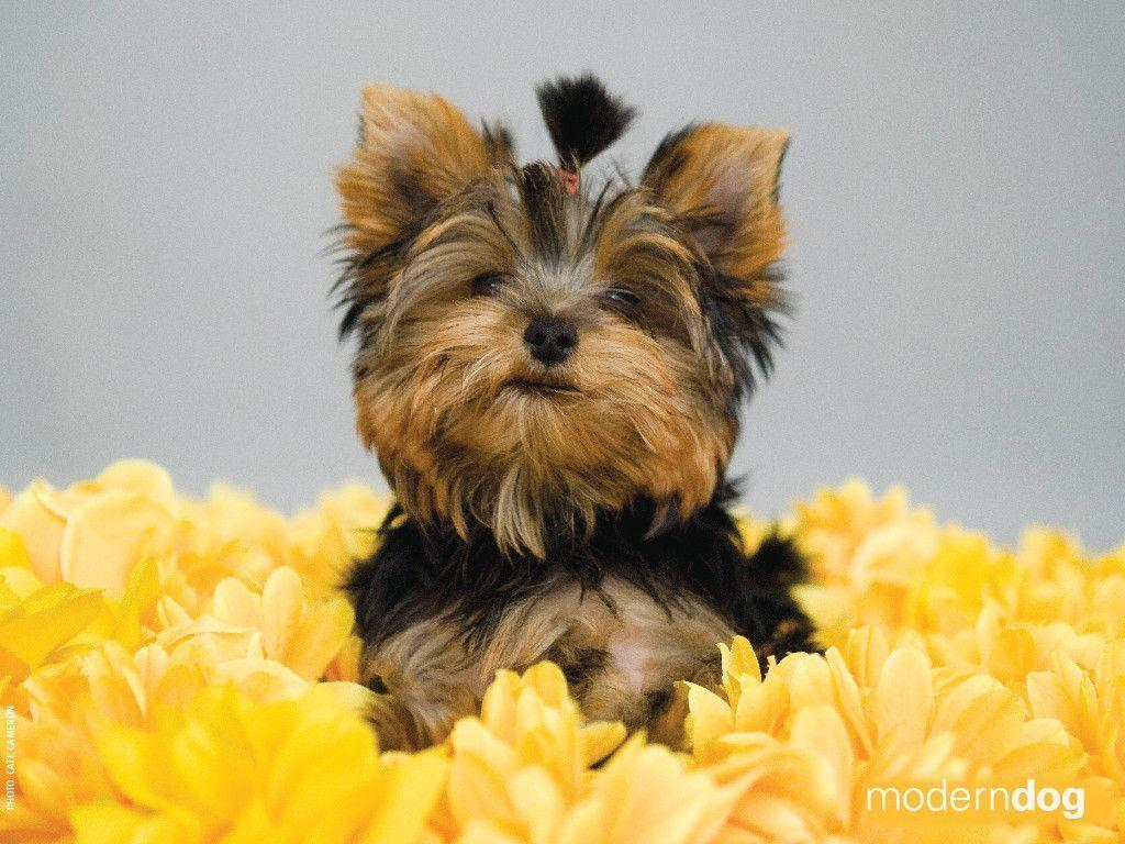 Yorkshire Terrier Wallpapers - Wallpaper Cave