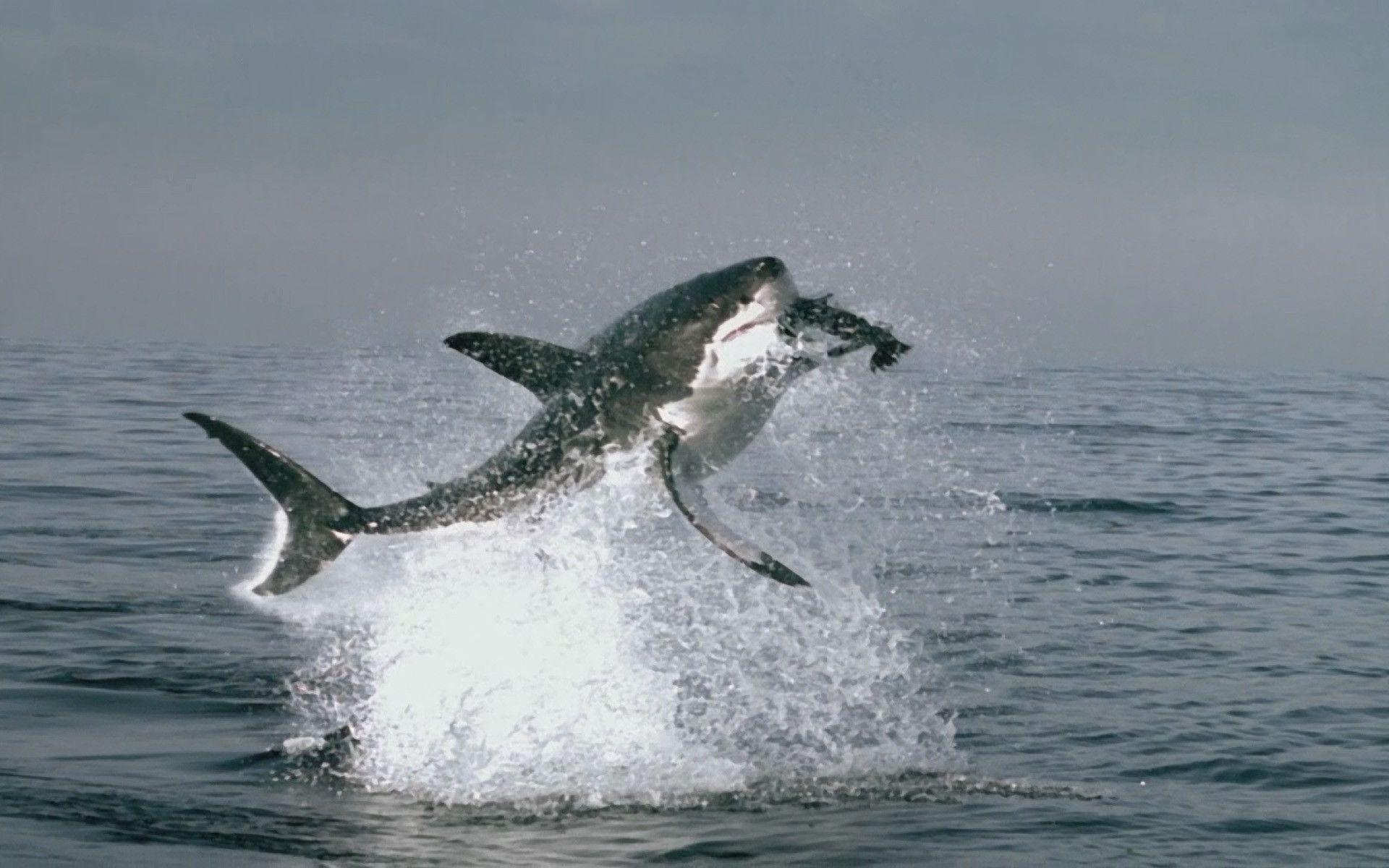 great white shark wallpapers wallpaper cave