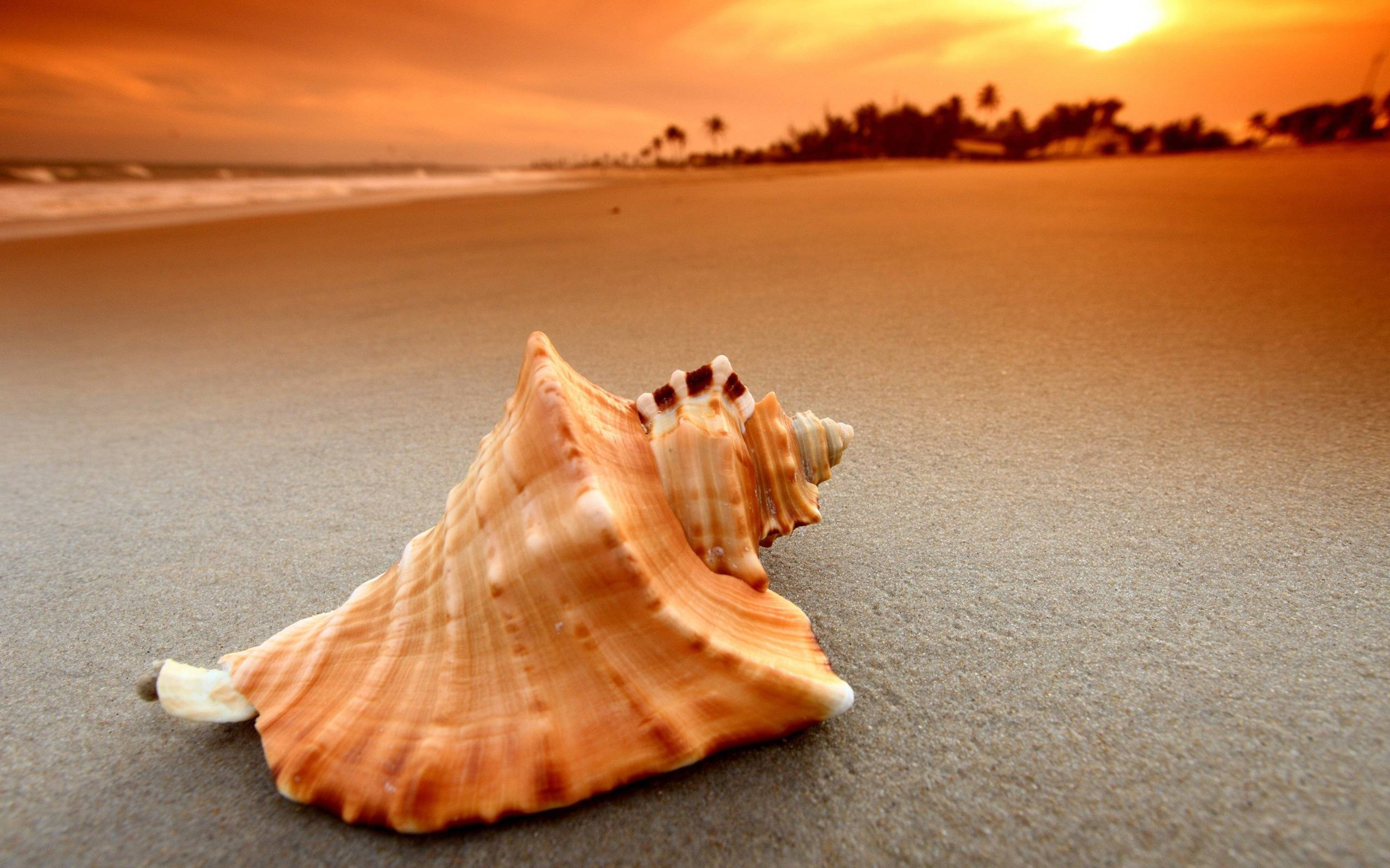 Whelk Sea Shell Wallpapers 2560X1600, Shell Photography