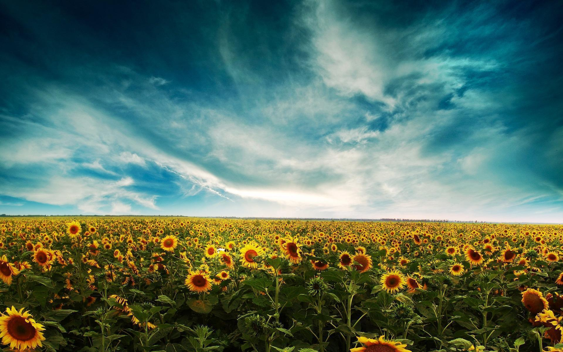 Sunflower Background Desktop Wallpaper, Size: 1920x1080 .
