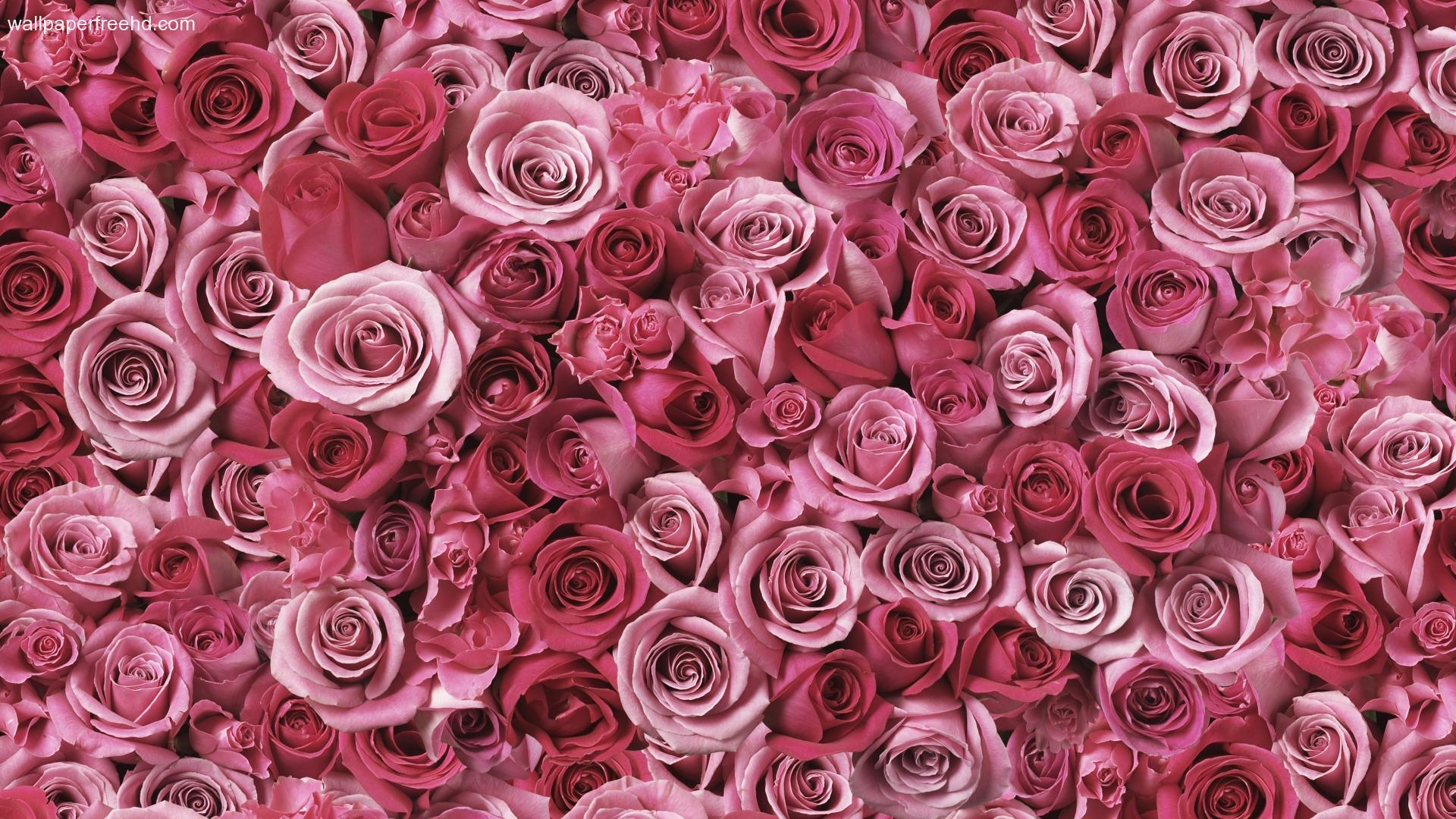 pink roses wallpaper hd free download wallpaper desktop backgrounds