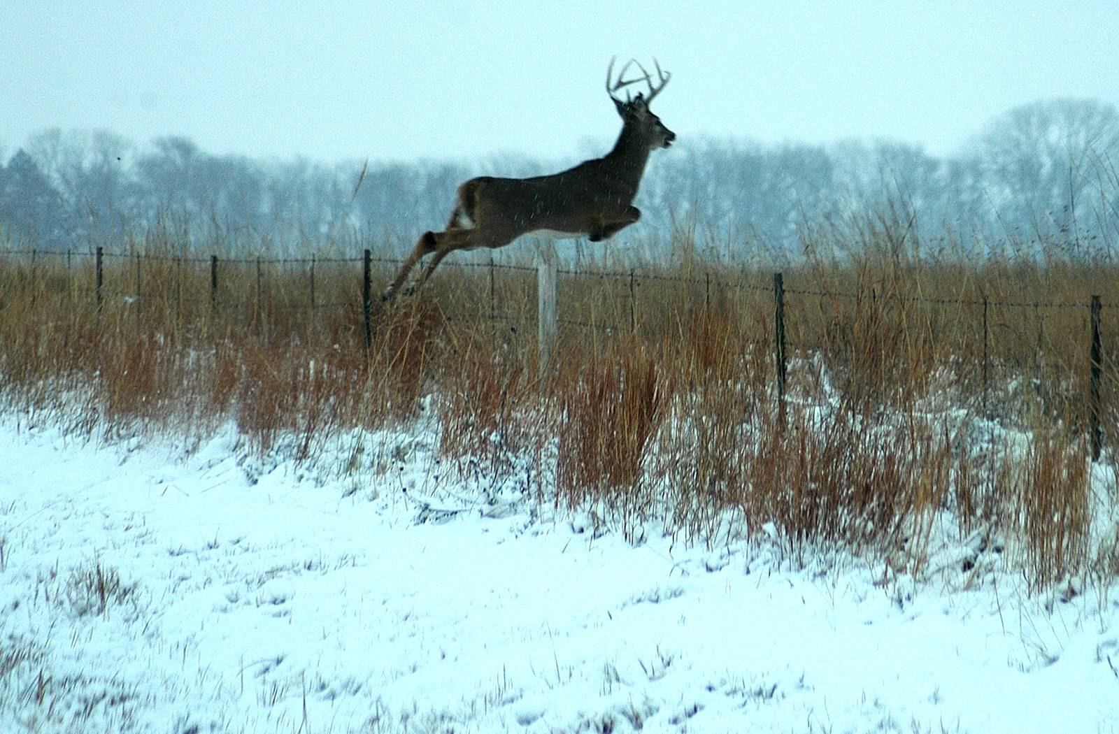 Wallpapers For > Monster Whitetail Deer Wallpapers